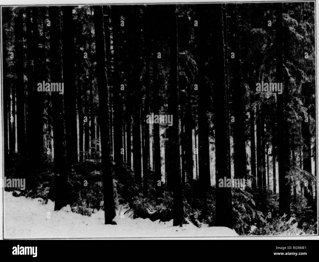 . Bulletin (Pennsylvania Department of Forestry), no. 11. Forests and forestry. Fig 1.-) NATURAL HKGKNKUATION OF THE FOREST. Norway Spruce before seeding cutting. Opening the leaf-canopy stimulates seed production.. Fig. 16. NATURAL REGENERATION OF THE FOREST. Norway Spruce after seeding cutting. Regeneration following regulated seed pro- duction . i m I. Please note that these images are extracted from scanned page images that may have been digitally enhanced for readability - coloration and appearance of these illustrations may not perfectly resemble the original work.. Pennsylvania. Dept. o - Stock Image