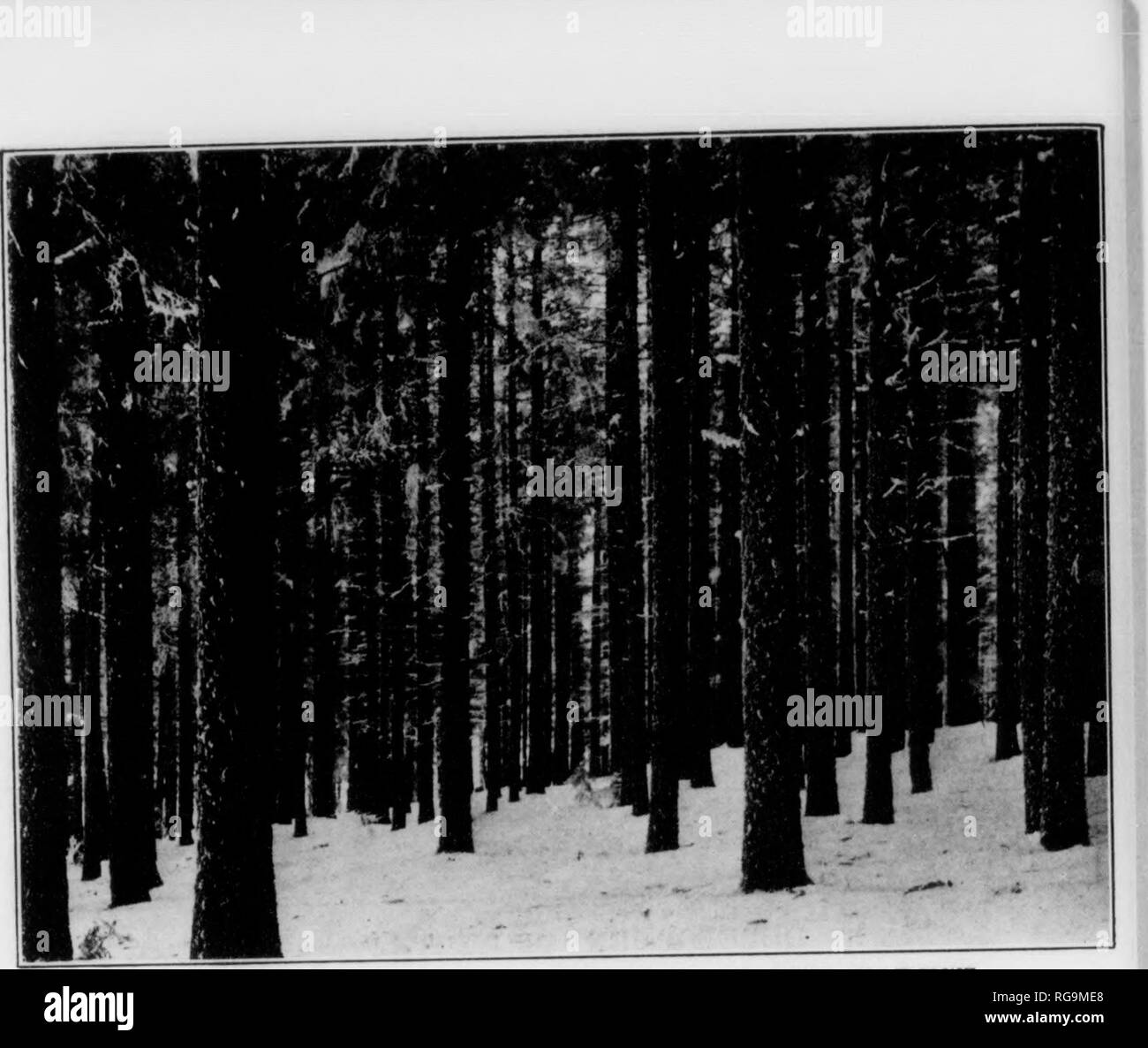 . Bulletin (Pennsylvania Department of Forestry), no. 11. Forests and forestry. Illll III. Fig 1.-) NATURAL HKGKNKUATION OF THE FOREST. Norway Spruce before seeding cutting. Opening the leaf-canopy stimulates seed production.. Please note that these images are extracted from scanned page images that may have been digitally enhanced for readability - coloration and appearance of these illustrations may not perfectly resemble the original work.. Pennsylvania. Dept. of Forestry. Harrisburg, Pa. : The Department : WM. Stanley Ray, state printer of Pennsylvania - Stock Image
