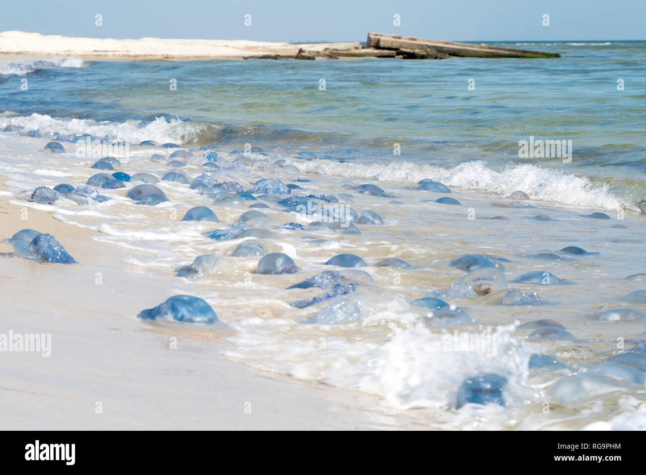 Ecological disaster and pollution of the world ocean. Millions dead jellyfish thrown to the seashore - Stock Image