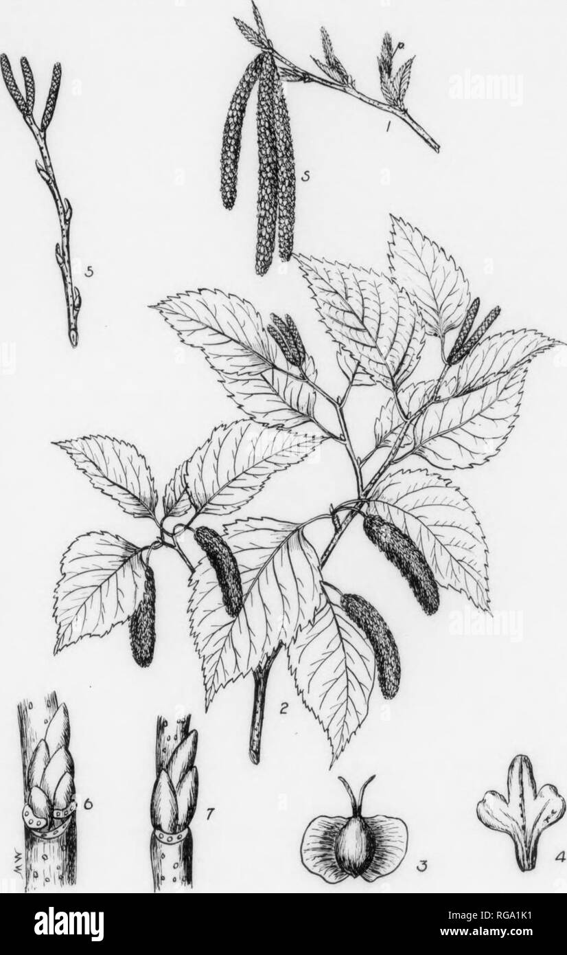 . Bulletin (Pennsylvania Department of Forestry), no. 11. Forests and forestry. lU ill PAPER BIRCH. Betula alba var. papyrifera, (Marshall) Spach. FORM—A large tree usually attaining a height of 50-75 ft. with a diameter of 1-2 ft., but may roach a height of 80 ft. with a diameter of 3 feet. Trunk in open grown trees short and covered nearly to the base with lateral, often ascending branches; in close stands branchless below and bearing a narrow open head. BARK—On trunk and older branches chalky to creamy white and peeling off in thin fllm- like layers which are tinged with yellow and covered  - Stock Image