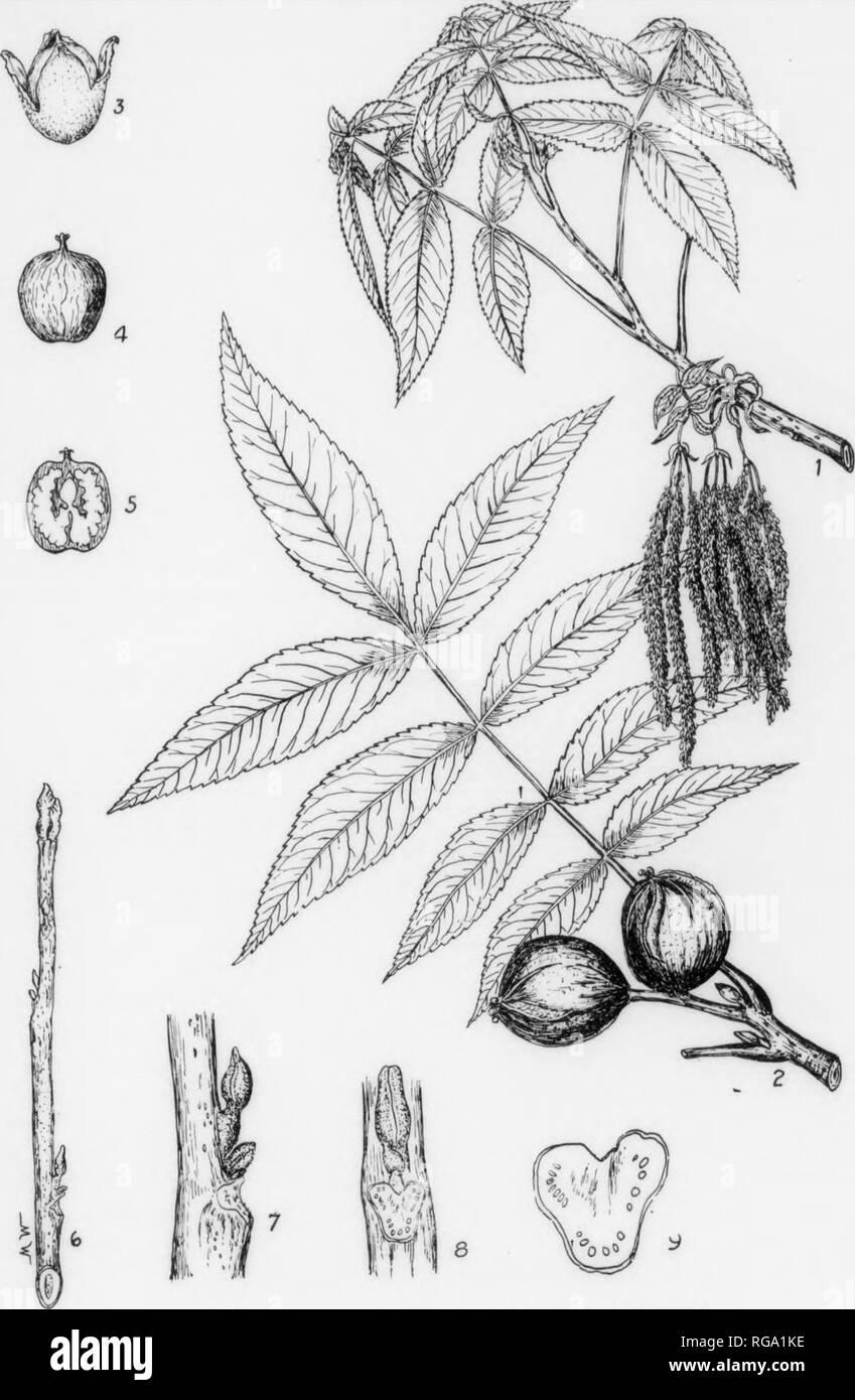 . Bulletin (Pennsylvania Department of Forestry), no. 11. Forests and forestry. 110 m BITTER NUT HICKORY. Carya cordiformis, (Wangenheim) K. Koch. rORM_A rather large tree usually 50-75 ft. high with a diameter of 1-2 ft but may reach » hef^frof Cft with a diameter of 2i-3 feet. Trunk long, clean, with little taper. Crown rounltpped Sroadelt near top. rather shallow In forest grown specimens. Lateral branches stout and ascending, often with semi-pendulous branchlets. BARK-Light gray, rather thin, roughened by shallow fissures and narrow midges; tight- fltfitg^7d does not 'peel off or shag off - Stock Image
