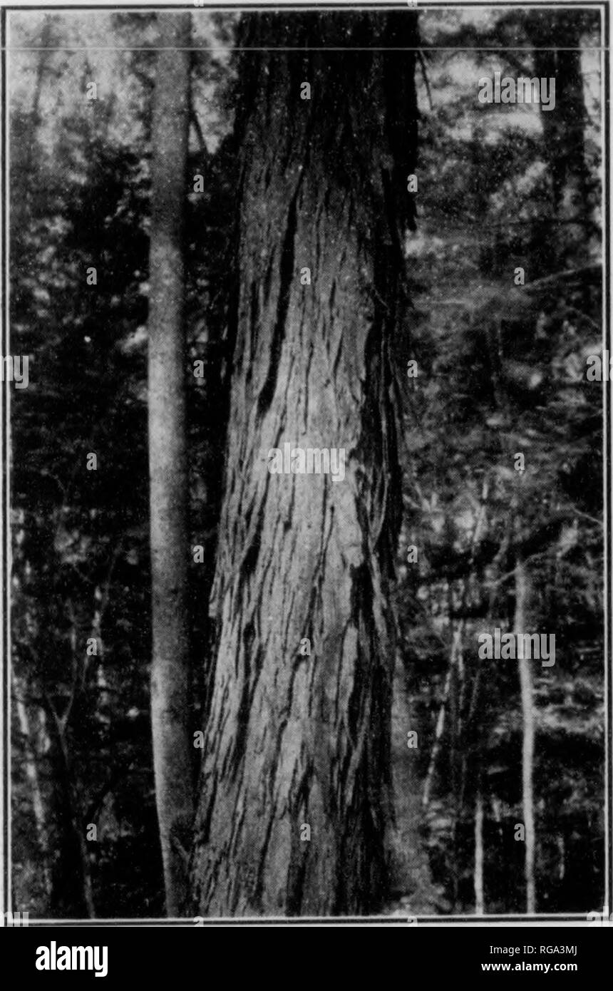 . Bulletin (Pennsylvania Department of Forestry), no. 11. Forests and forestry. ¥. Fig 88. SHAG-BARK HICKORY Trunk 26 inches in diameter.. Please note that these images are extracted from scanned page images that may have been digitally enhanced for readability - coloration and appearance of these illustrations may not perfectly resemble the original work.. Pennsylvania. Dept. of Forestry. Harrisburg, Pa. : The Department : WM. Stanley Ray, state printer of Pennsylvania - Stock Image