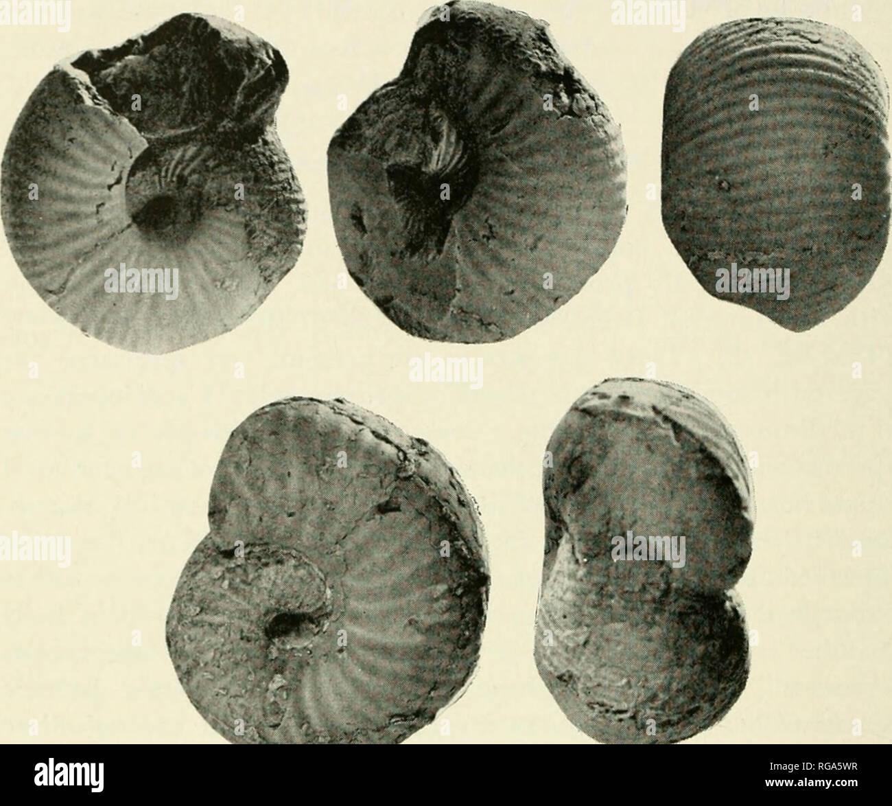". Bulletins of American paleontology. 254 Bulletin 256. Text-figs. 10-11. — Comparison (above) ""Sphanoccras cf. hullatum d'Orb."" (Gerth, 1927, p. 226) [= Bullatimorphitcs (Treptoccras) aff. B. uhligi (Popovici-Hatzeg) from supposed Calloian of the Wairori River (loc. 1), with (below) a topotype of B. (T.) ""sucvicum (J. Roemer)"" [ = B. uhligi' from the O. aspidoidis Zone, Upper Bathonian, of Hildesheim, Germany (Nie- dersachs. Landsamt Bcdenforschung). xl. Original Coll. B.F. B./N.L. f B han- nover 6537. ?Genus BULLATIMORPHITES Buckman, 1921 Bullatimorphites ?, n. sp. 9 PI - Stock Image"