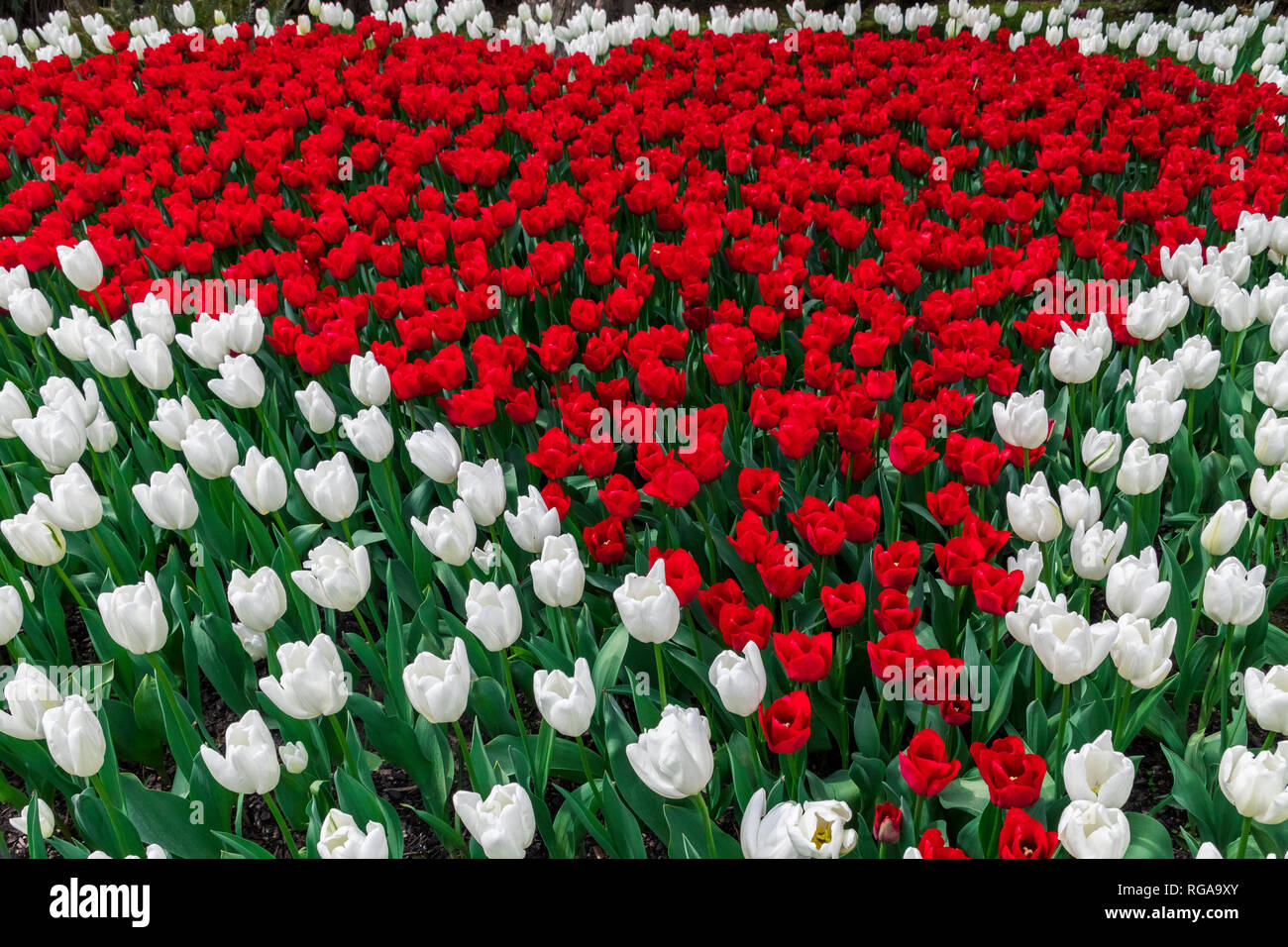 USA, Washington State, Skagit Valley, tulip field, white and red tulips - Stock Image