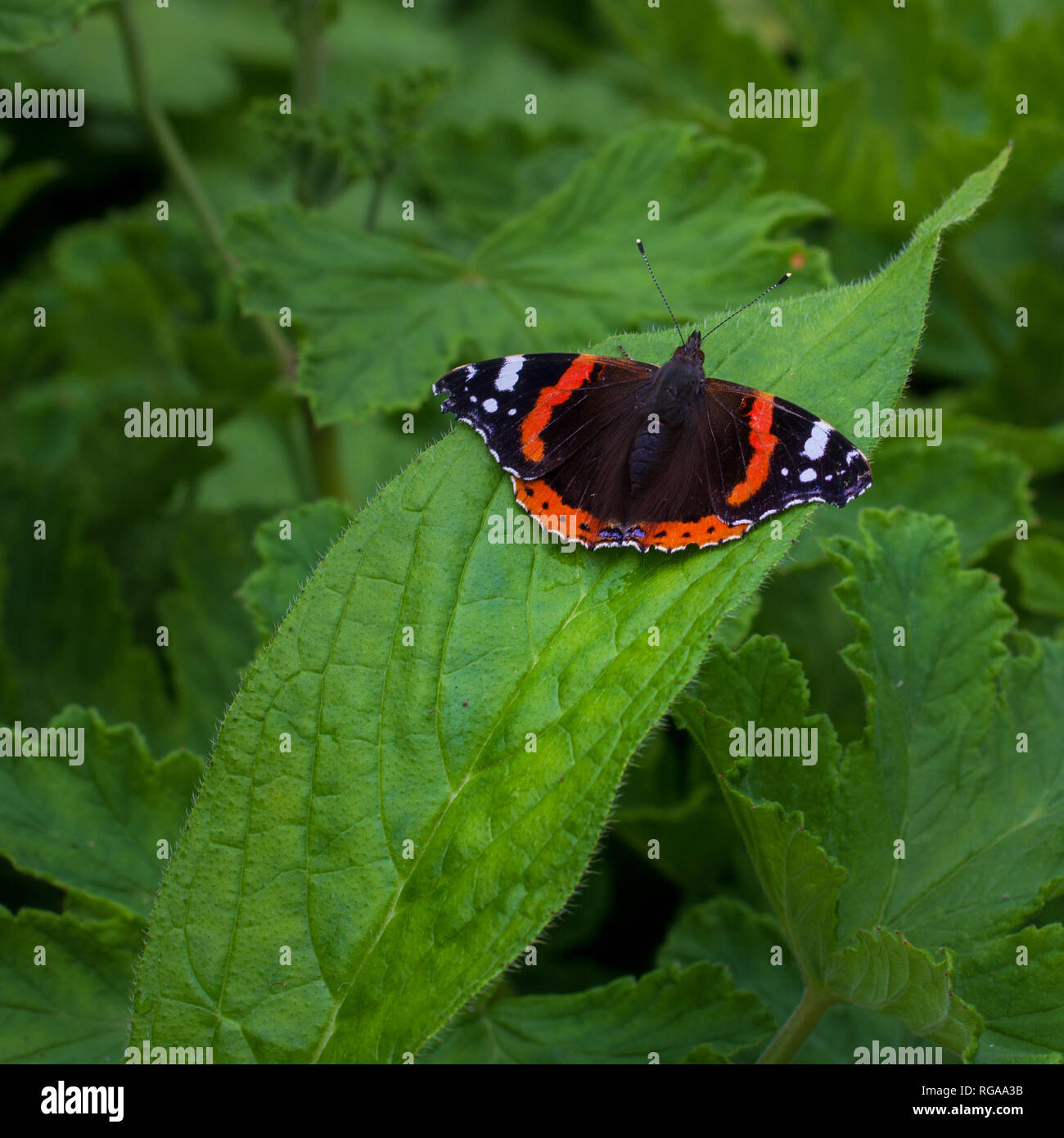 A Red Admiral (Vanessa atalanta) butterfly has black wings with white and orange markings and is sitting on a green leaf - Stock Image