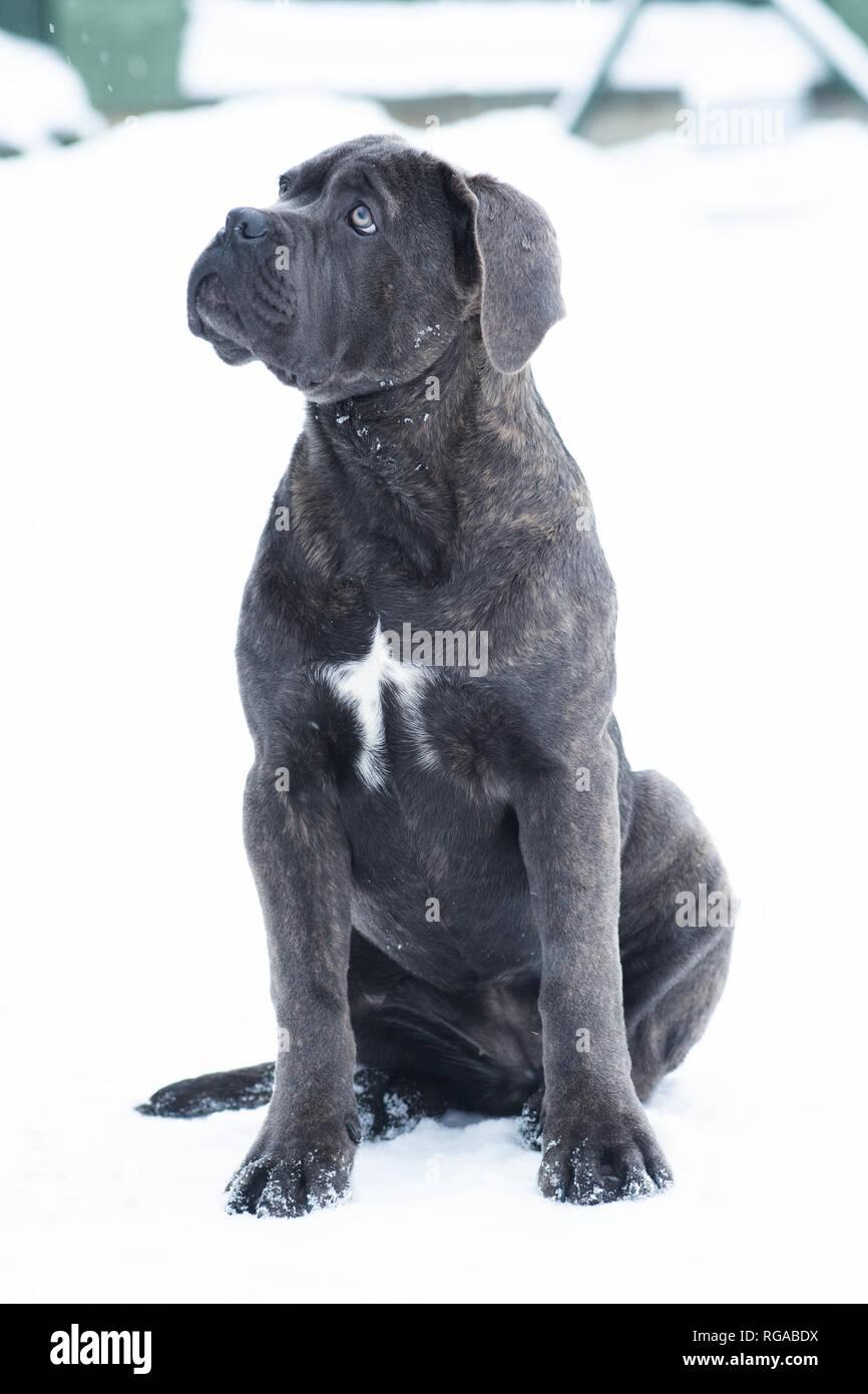 Grey Cane Corso Puppy Dog Stock Photos Grey Cane Corso Puppy Dog