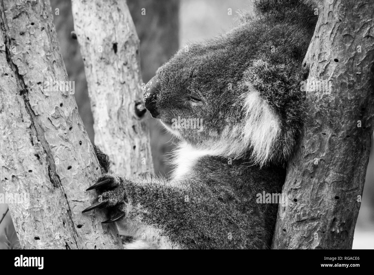 Black and white of koala bear in Australia sleeping in tree holding himself with his black long claws - Stock Image