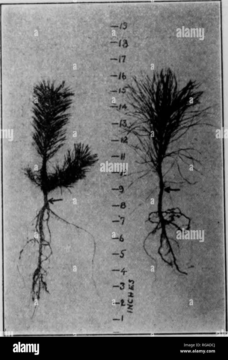 . Bulletin (Pennsylvania Department of Forestry), no. 25-31. Forests and forestry. Norway spruce (left) and white pini (right), three years old.. Please note that these images are extracted from scanned page images that may have been digitally enhanced for readability - coloration and appearance of these illustrations may not perfectly resemble the original work.. Pennsylvania. Dept. of Forestry. Harrisburg, Pa. : The Department : WM. Stanley Ray, state printer of Pennsylvania - Stock Image