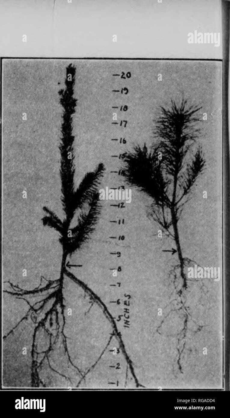 . Bulletin (Pennsylvania Department of Forestry), no. 25-31. Forests and forestry. Japanese larch (left) and white pine (right), two years old.. Norway spruce (left) and white pini (right), three years old.. Please note that these images are extracted from scanned page images that may have been digitally enhanced for readability - coloration and appearance of these illustrations may not perfectly resemble the original work.. Pennsylvania. Dept. of Forestry. Harrisburg, Pa. : The Department : WM. Stanley Ray, state printer of Pennsylvania - Stock Image