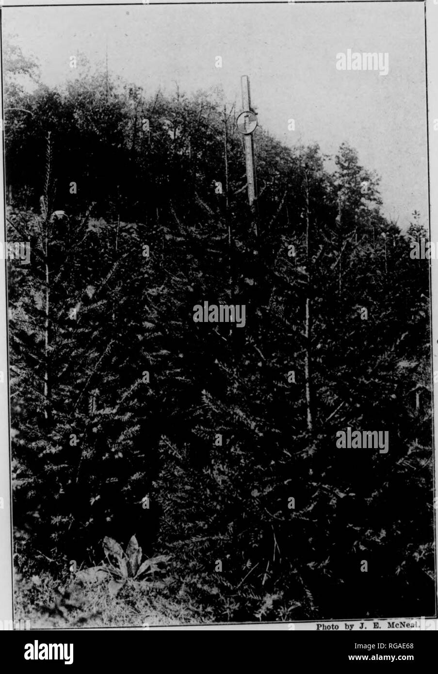 ". Bulletin (Pennsylvania Department of Forestry), no. 14-16. Forests and forestry. â â < \'- ^:M r.^,^' -^â¦.'., r 'â¢F-r^ 1.^ p.-/ I'"" \^'v- m^- y-V' ""'6 /,/ A '-"" V I'hoto by J. E. McNeal. Fig. 28. PLANTATION OF BULL PINE. Trees eight years old. Average height 5.7 feet. Jacob Nolde Estate, Berks County, Pennsylvania.. Photo by J. B. McNeal. Fig 29 PLANTATION OF DOUGLAS FIR. Trees nine years old.' Average height 3.7 feet. Jacob Nolde Estate, Berks County, Pennsylvania.. Please note that these images are extracted from scanned page images that may have been digitally enhanced Stock Photo"
