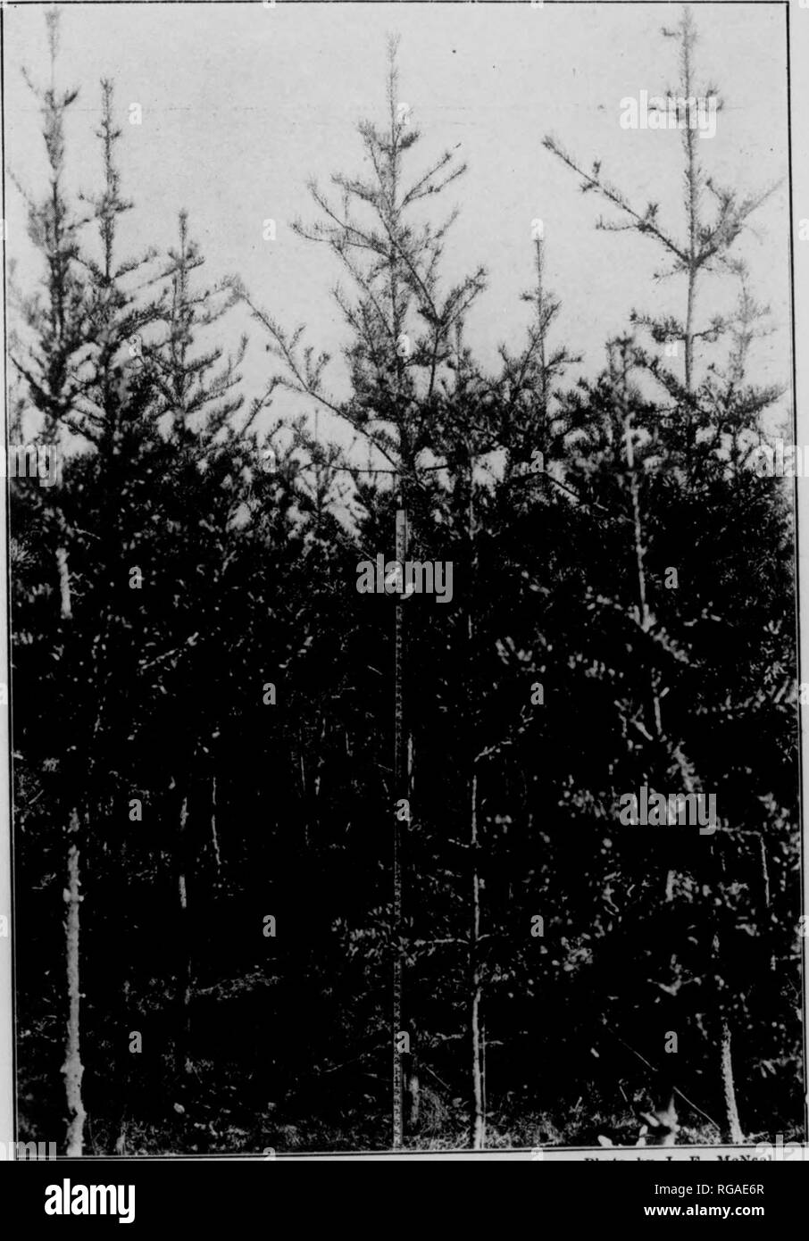 . Bulletin (Pennsylvania Department of Forestry), no. 14-16. Forests and forestry. s. ' â #V;vr ⢠^ ⢠m; IMioto by J. B. McNeal. Fig. 26. PLANTATION OF SCOTCH PINi: Trees nine years old from seed. Average height nine feet. Average diameter 1.2 inches. Jacob Nolde Estate, Berks County, Pennsylvania.. Photo by J. E. McNeal. Fig. 27. PLANTATION OF JACK PINE. Trees nine years old. Average height 10.4 feet. Average diameter 1.3 inches. Jacob Nolde Estate, Berks County, Pennsylvania.. Please note that these images are extracted from scanned page images that may have been digitally enhanced for rea - Stock Image