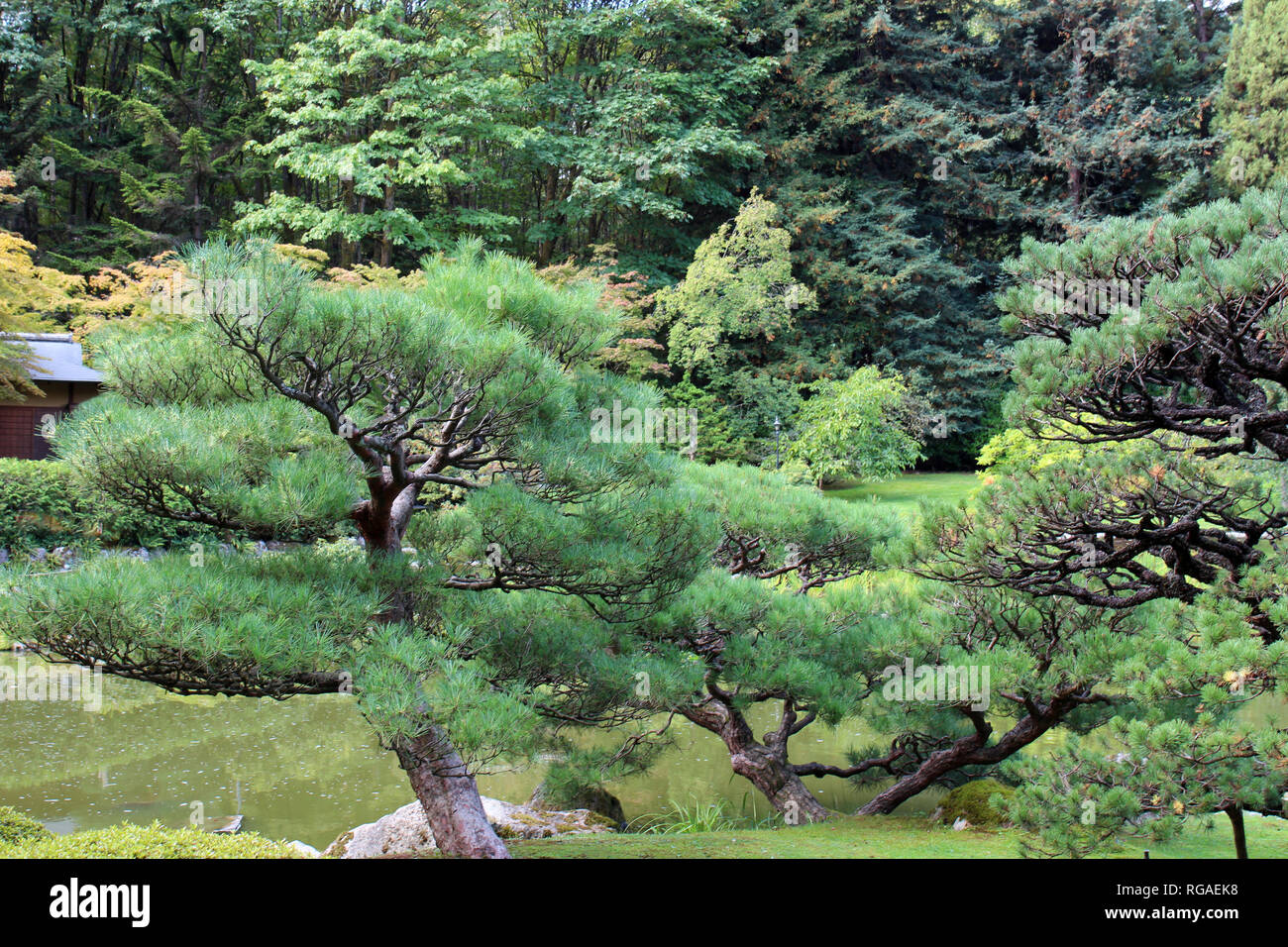 Sprawling Pine Trees in front of a pond and a Japanese Tea House in Seattle, Washington - Stock Image