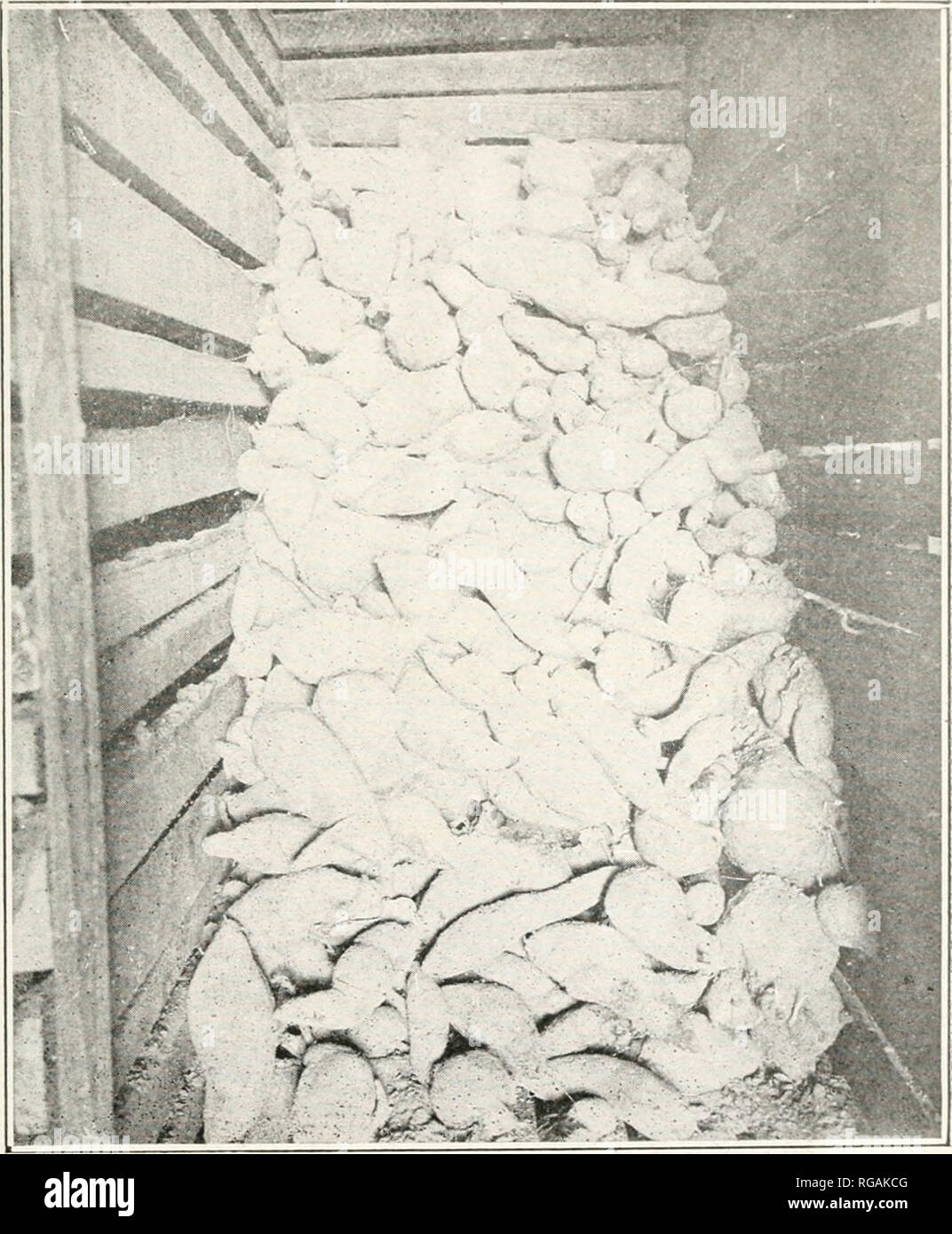 . Bulletin : report of Agricultural Experiment Station, Agricultural and Mechanical College, Auburn, Ala. Agriculture -- Alabama. PLATE III.. Fig. 7. Triumph potatoes in bin June 1st, 1916. Note cut ends wliicli liealed perfectly. Piioto eight months af- ter storing. This bin of potatoes was marketed ia perfect condition in June.. Please note that these images are extracted from scanned page images that may have been digitally enhanced for readability - coloration and appearance of these illustrations may not perfectly resemble the original work.. Agricultural and Mechanical College of Alabama - Stock Image