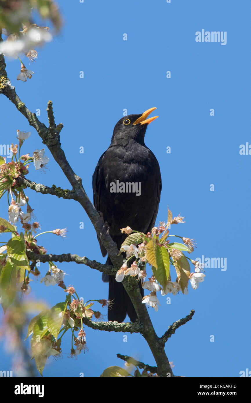 Eurasian blackbird / common blackbird (Turdus merula) male perched in blossoming fruit tree in spring and calling - Stock Image