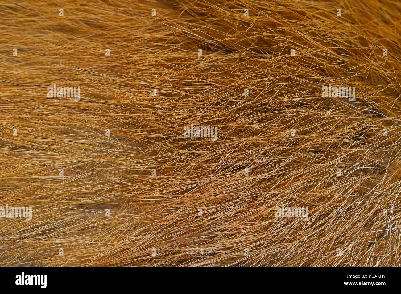 Red fox (Vulpes vulpes) close-up of the guard hairs in dense coat / fur - Stock Image
