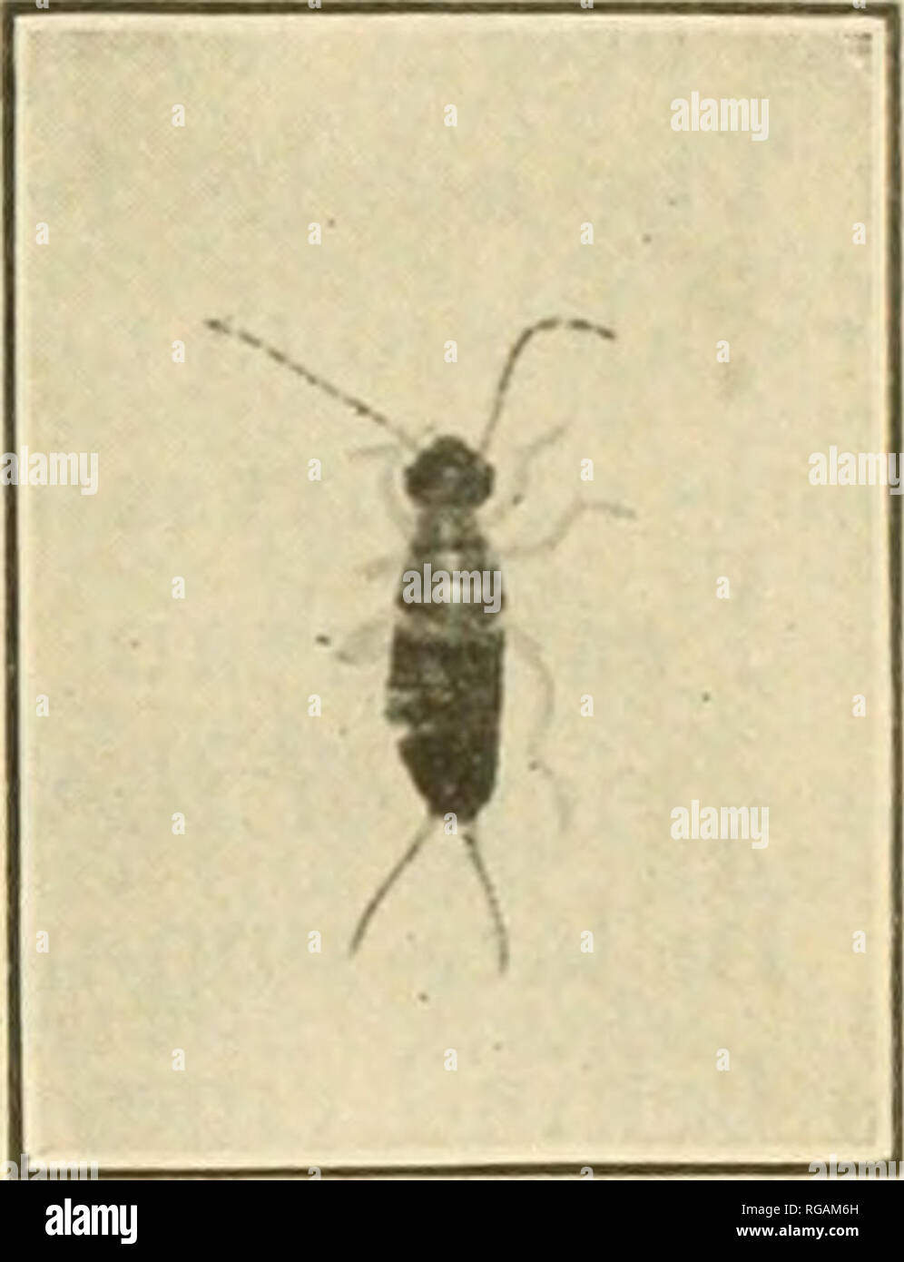 . Bulletin of the U.S. Department of Agriculture. Agriculture. THE EUROPEAN EARWIG AND ITS CONTROL. larva stages The change legs and a dull-brown head (fig. 3). There are foui which gradually approach the adult in size and color, from the fourth larva stage to the adult form takes place about July 18. When first hatched the larvae leave their under- ground nests, most noticeably on warm nights about two hours after dark. They swarm over the ground, but usually stay within 2 or 3 feet of the entrance to their nest. On cold nights few can be found. As they grow older they are active even on cold - Stock Image