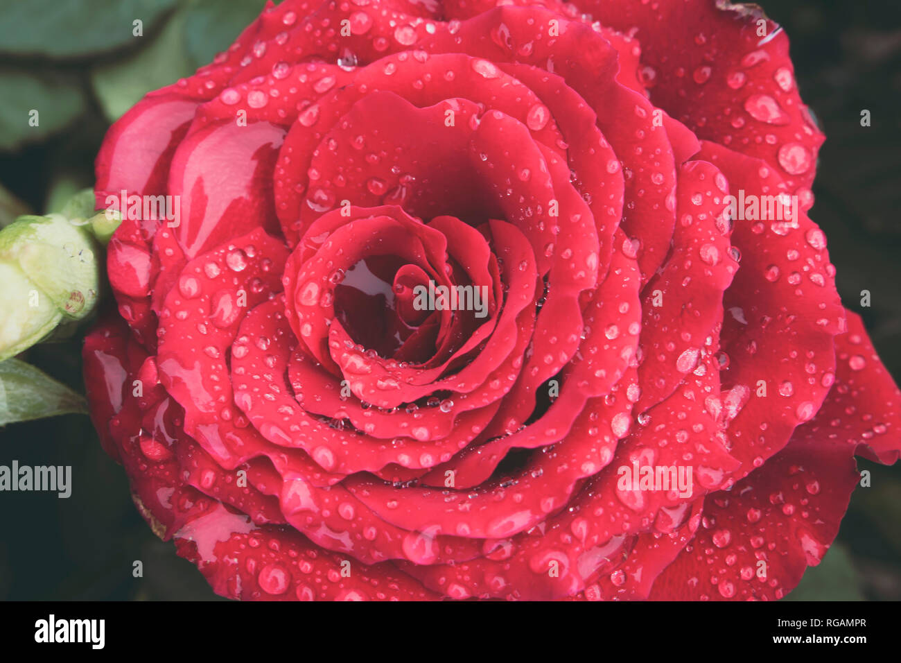Macro of beautiful red rose in full bloom covered in water droplets from morning dew. Love and romantic concept. - Stock Image