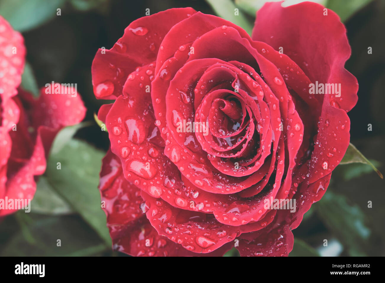 Close up of beautiful red rose in full bloom covered in water droplets from morning dew. Love and romantic concept. - Stock Image