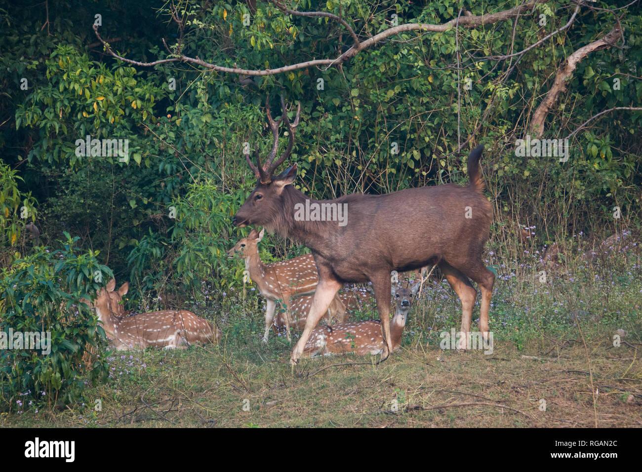 Large sambar deer walks past spotted deer in Rajaji National Park in Uttarakhand, India - Stock Image
