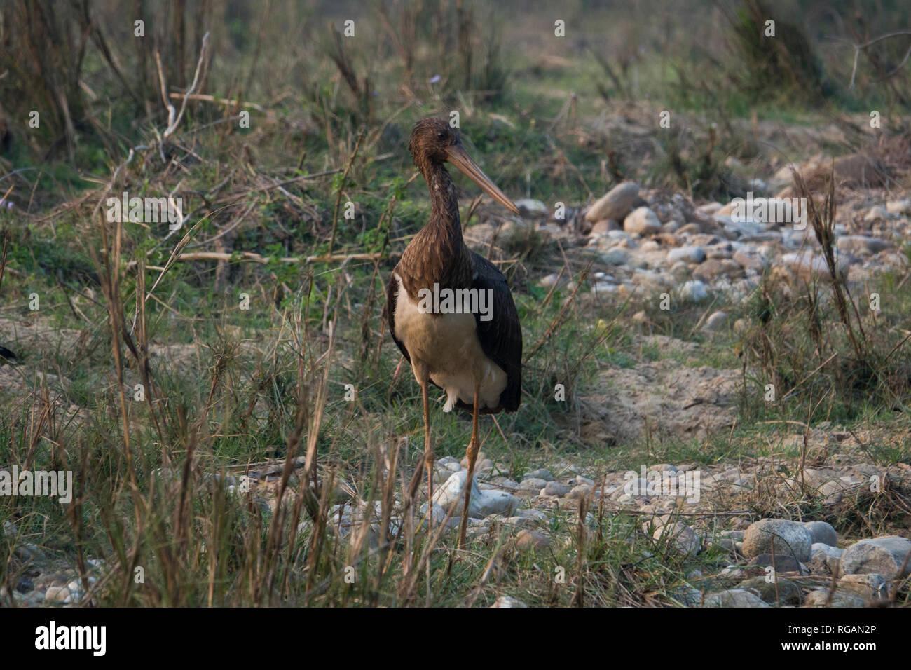 Black stork in Rajaji National Park, Uttarakhand, India - Stock Image