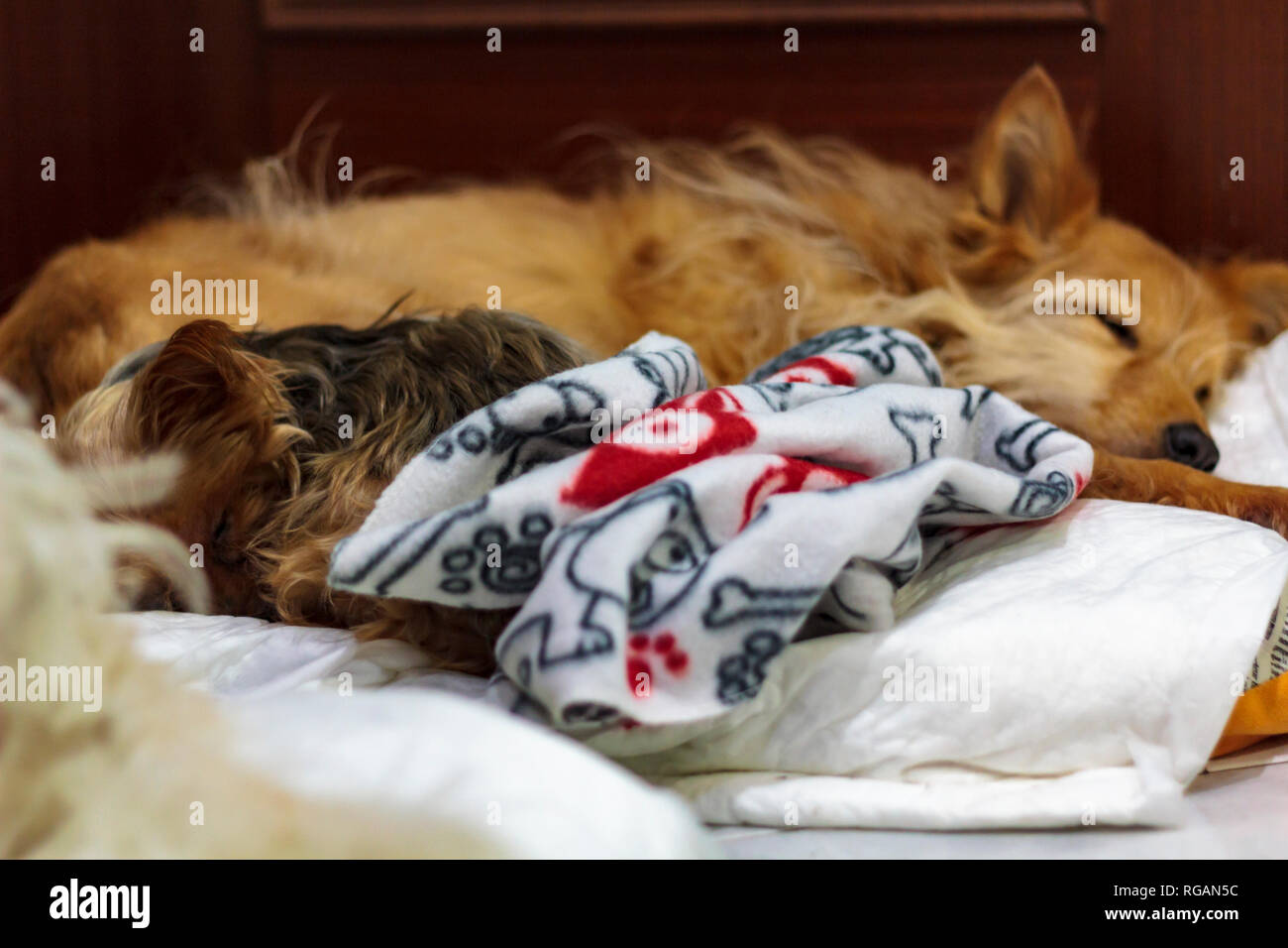 Two dogs sleeping in the same bed - Stock Image