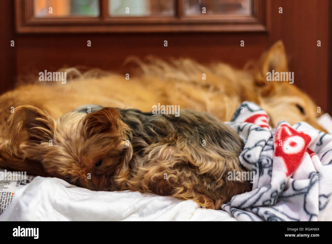 Dogs slepping in the same bed with blanket - Stock Image
