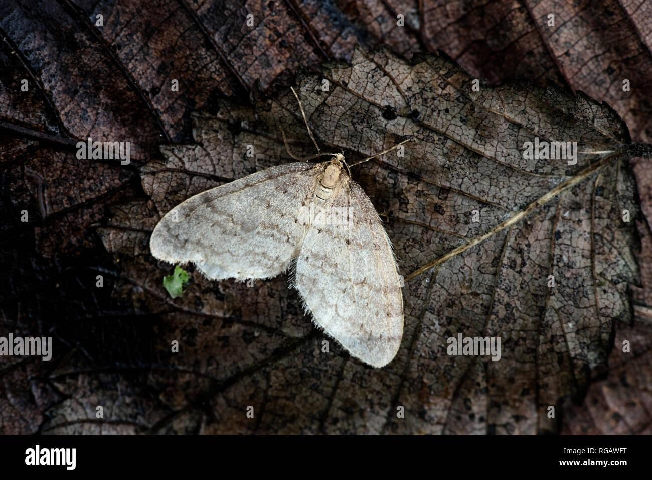 Winter moth, Operophtera brumata - Stock Image
