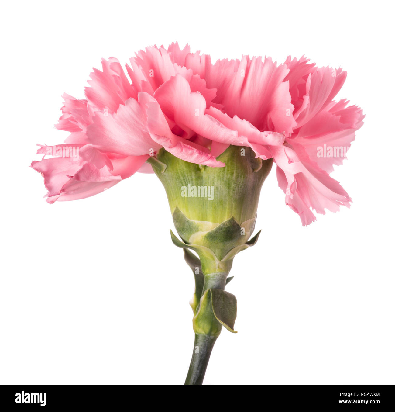 Pink carnation head isolated on white background - Stock Image