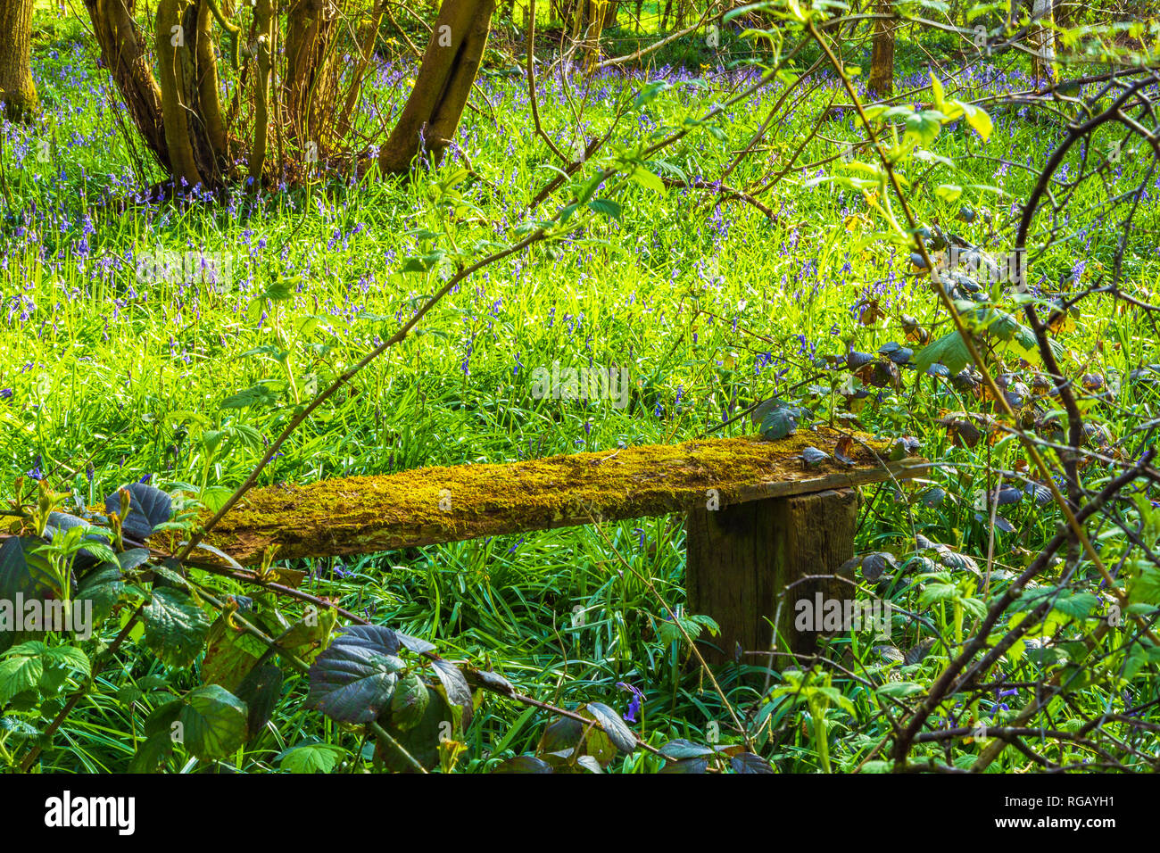 Bluebells on the forest floor in a country park in Dudley, UK. - Stock Image