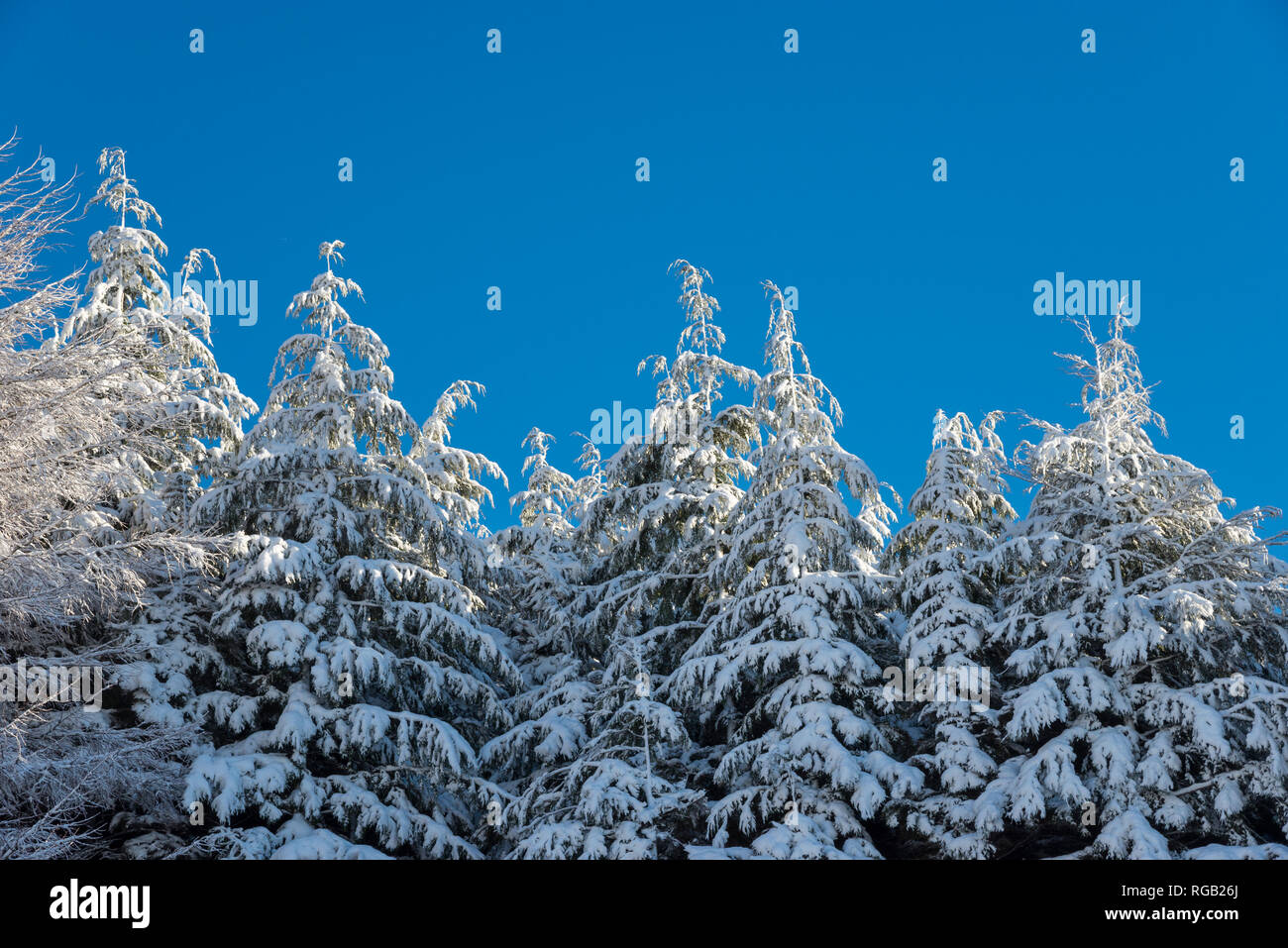Spruce trees covered in snow against a clear blue sky on a cold winter morning. - Stock Image