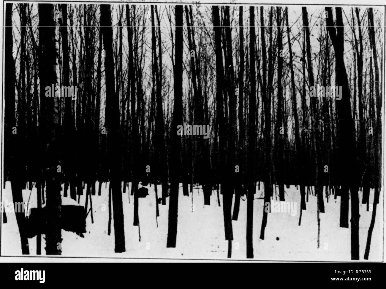 . Bulletin (Pennsylvania Department of Forests and Waters), no. 46-50. Forests and forestry. Fig. 9. A 26-Ycar-Old Mixed Stand of Yellow and Black Birch Averaging 3.4 Inches in Diameter, and 39 Feet in Height. It Contains 1,264 Trees per Acre with a Total Volume of 1,705 Cubic Feet.. Fig. 10 A 30-Year-Old Stand, rrincipally Black Birch, Averaging 3.4 Inches m Dmmeter and 40 Feet in Height. It Contains 1,476 Trees per Acre with a Total 1 olumc of 12,223 Cubic Feet. i ^^i^ The Beecii-Bikcii-Maple Forest Type in Pennsylvania 21. Please note that these images are extracted from scanned page images - Stock Image