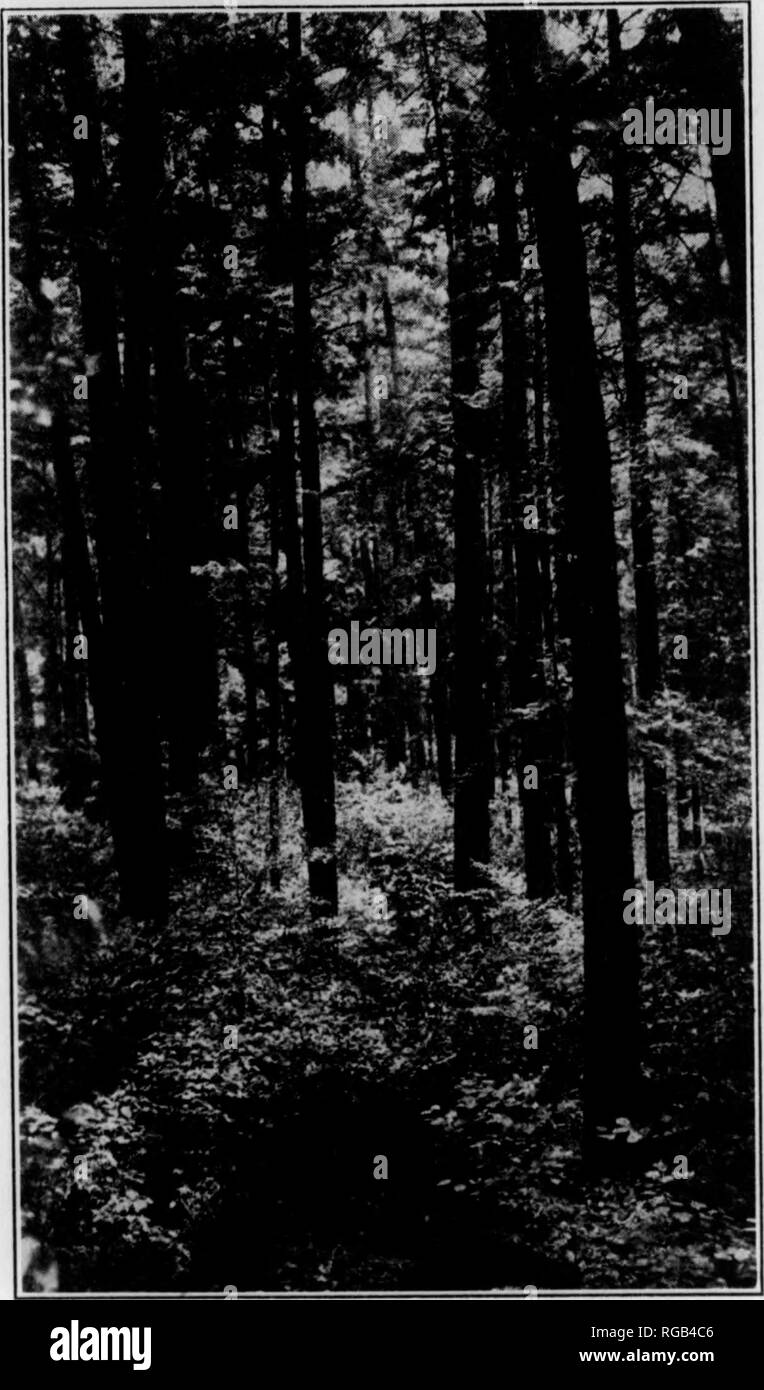 . Bulletin (Pennsylvania Game Commision), no. 10. Game protection; Birds. Photograph by W. Gard. Conklln. Fig. 3. PRIMEVAL WOODLAND IN CLARION COUNTY: COOK FOREST These magnificent White Pines are among the finest in eastern North America. and to hear the croak of the great northern raven, one of the rarest and shyest of North American birds. That such sights are still to be had in Pennsylvania is due to the intervention of the several departments of the State government organized tor the protection of the wild creatures and the natural resources of the Common- wealth, backed by the conservati Stock Photo