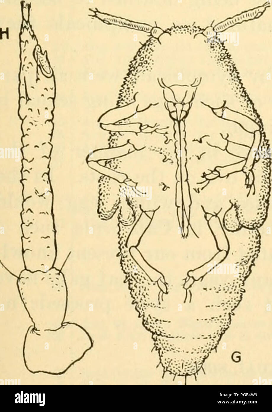 . Bulletin of the U.S. Department of Agriculture. Agriculture. Phylloxera vitifoUae: Types of antennae of intermediates. Oreatly enlarged. eyes were absent, and in no case were ocelli discernible. In most in- dividuals there were two sensoria on the last antennal joint, and in one antenna there were two small basal sensoria and the usual apical sensorium, makin^: three in all. The basal sen- soria were not in any case as large as those of the winged migrant. The an- tennae and legs were about as long as those of the nymph, noticeably longer on the average than those of the individuals of group - Stock Image