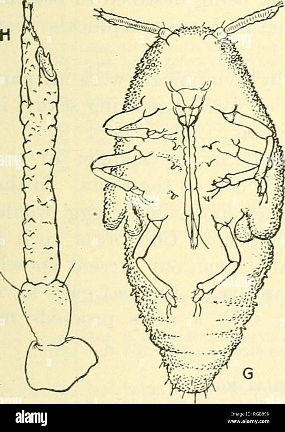 . Bulletin of the U.S. Department of Agriculture. Agriculture; Agriculture. Fig. 8.—Phylloxera vitifoliae: Types of antenna of intermediates. Greatly enlarged. eyes were absent, and in no case were ocelli discernible. In most in- dividuals there were two sensoria on the last antennal joint, and in one antenna there were two small basal sensoria and the usual apical sensorium, making three in all. The basal sen- soria were not in any case as large as those of the winged migrant. The an- tennae and legs were about as long as those of the nymph, noticeably longer on the average than those of the  - Stock Image