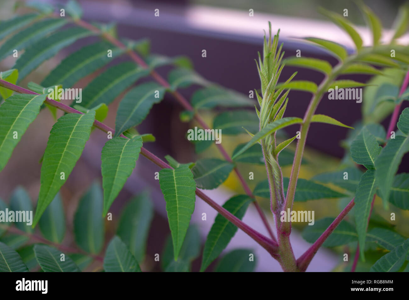 A light green outdoor plant with purple stems growing along