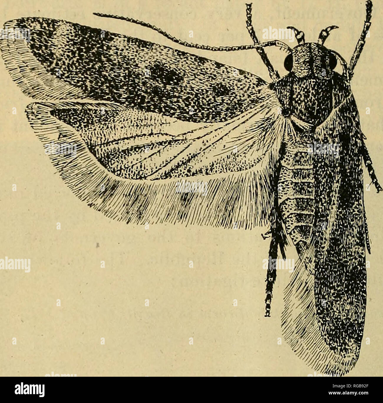 . Bulletin of the U.S. Department of Agriculture. Agriculture; Agriculture. 8 BULLETTlSr 723, U. S. DEPARTMENT OF AGRICULTURE. clothes moth of this countiy. From tip to tip of the extended wings it measures from three-fifths to four-fifths of an inch. , It is of a dark-brown color, the forewings ending in a rather sharp point. The hindwings are somewhat broader than the forewings and end in an even sharper point. The eggs are very small objects, somewhat oval, about one-twenty-fifth of an inch long and one-fiftieth of an inch broad. The surface is white and finely wrinkled. The larva (fig. 3)  - Stock Image