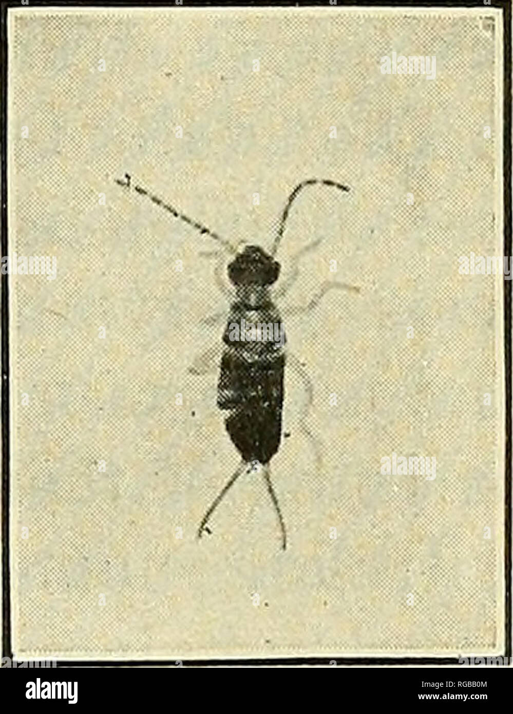 . Bulletin of the U.S. Department of Agriculture. Agriculture; Agriculture. THE EUROPEAN EARWIG AND ITS CONTROL. legs and a dull-brown head (fig. 3). There are four larva stages which gradually approach the adult in size and color. The change from the fourth larva stage to the adult form takes place about July 18. When first hatched the larvae leave their under- ground nests, most noticeably on warm nights about two hours after dark. They swarm over the ground, but usually stay within 2 or 3 feet of the entrance to their nest. On cold nights few can be found. As they grow older they are active - Stock Image