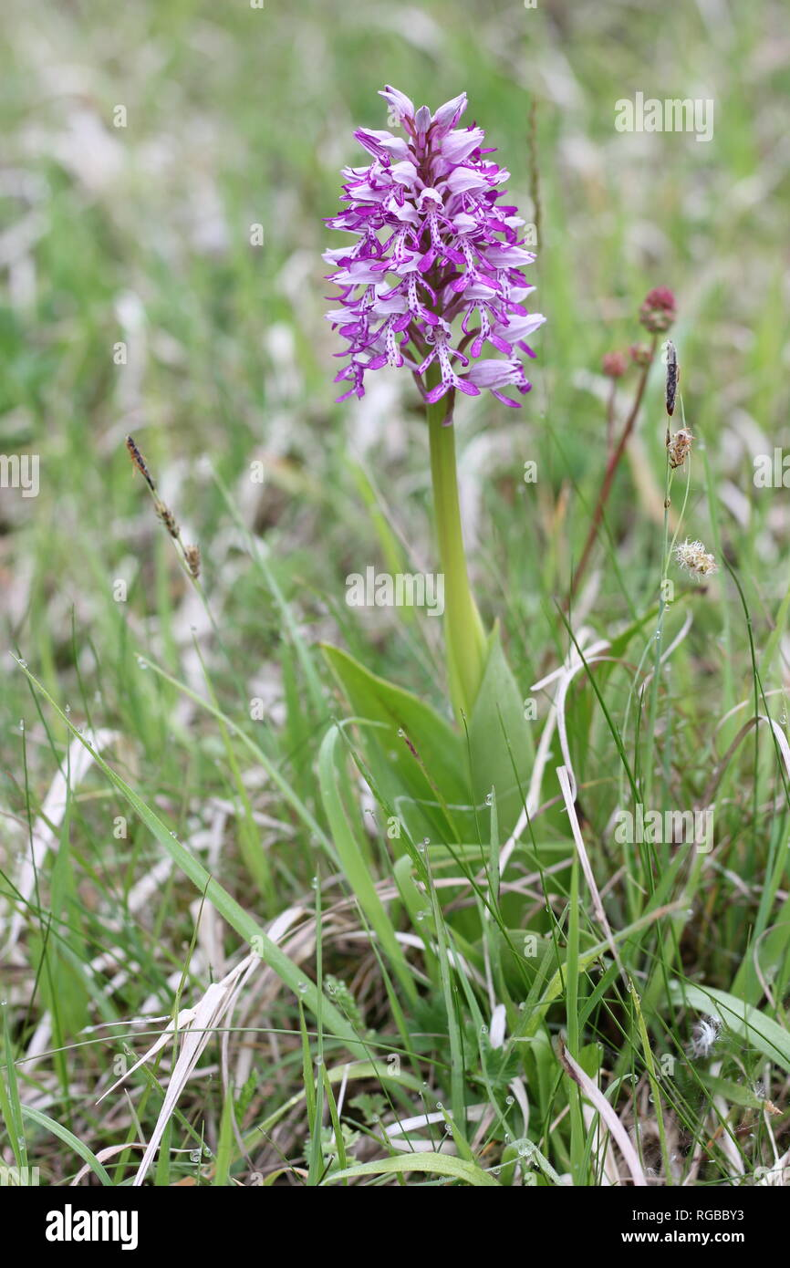 Flowering Military Orchid (Orchis militaris) in a desiccated calciferous mire habitat in western Germany. - Stock Image