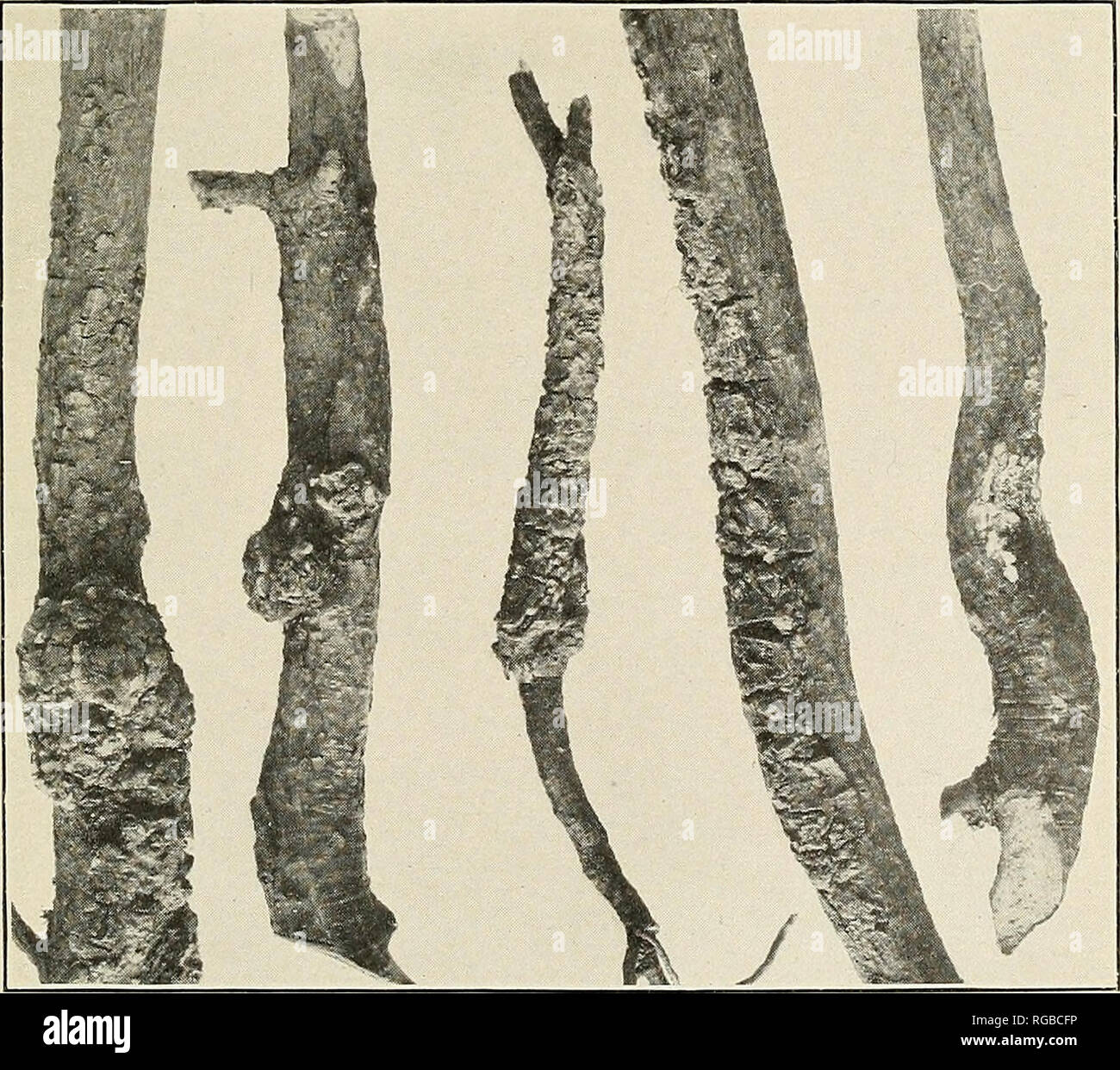 . Bulletin of the U.S. Department of Agriculture. Agriculture; Agriculture. Fig. 1.—A 6-Year-0ld Jack Pine In- fected WITH PERIDERMIUM CEREBRUM. The complete girdling of the main stem by two oppositely arranged galls is shown. Note the wedge-shaped gall tissues. Fiq. 2.—Four-Year-Old Seedlings of Jack Pine, Showing the Char- acteristic Swellings of Perider- mium Cerebrum. The entire crown of the seedlings develops into spherical brooms.. Fig. 3.—Various Types of Infection of Young Jack Pine by Peri- dermium comptoniae. Note that in the central figure the fungus has invaded the underground tiss - Stock Image