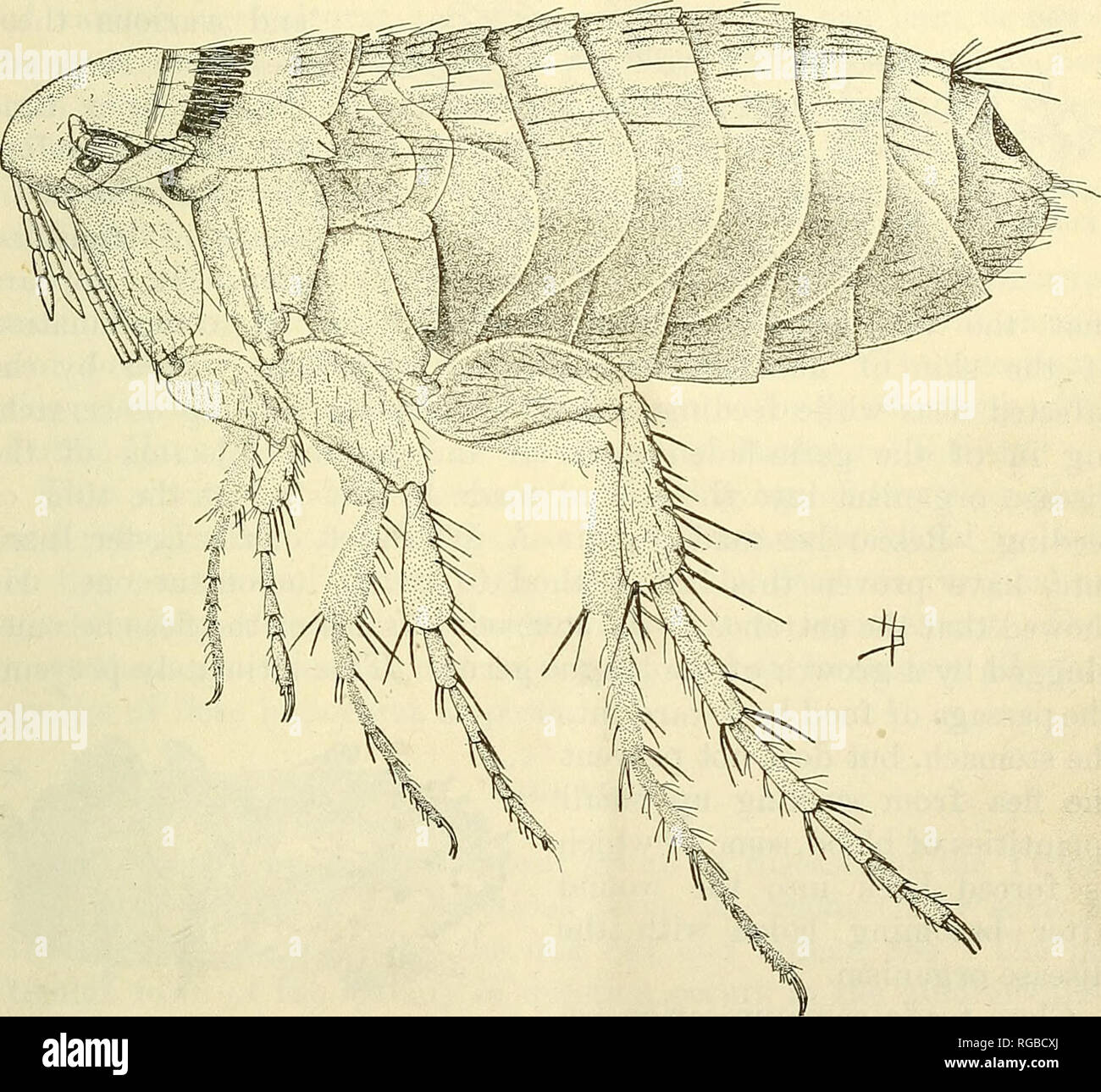 Bulletin Of The U S Department Of Agriculture Agriculture Agriculture Fleas 13 The Indian Rat Flea Has Been Found To Be By Far The Most Im Portant In Plague Transmission In India