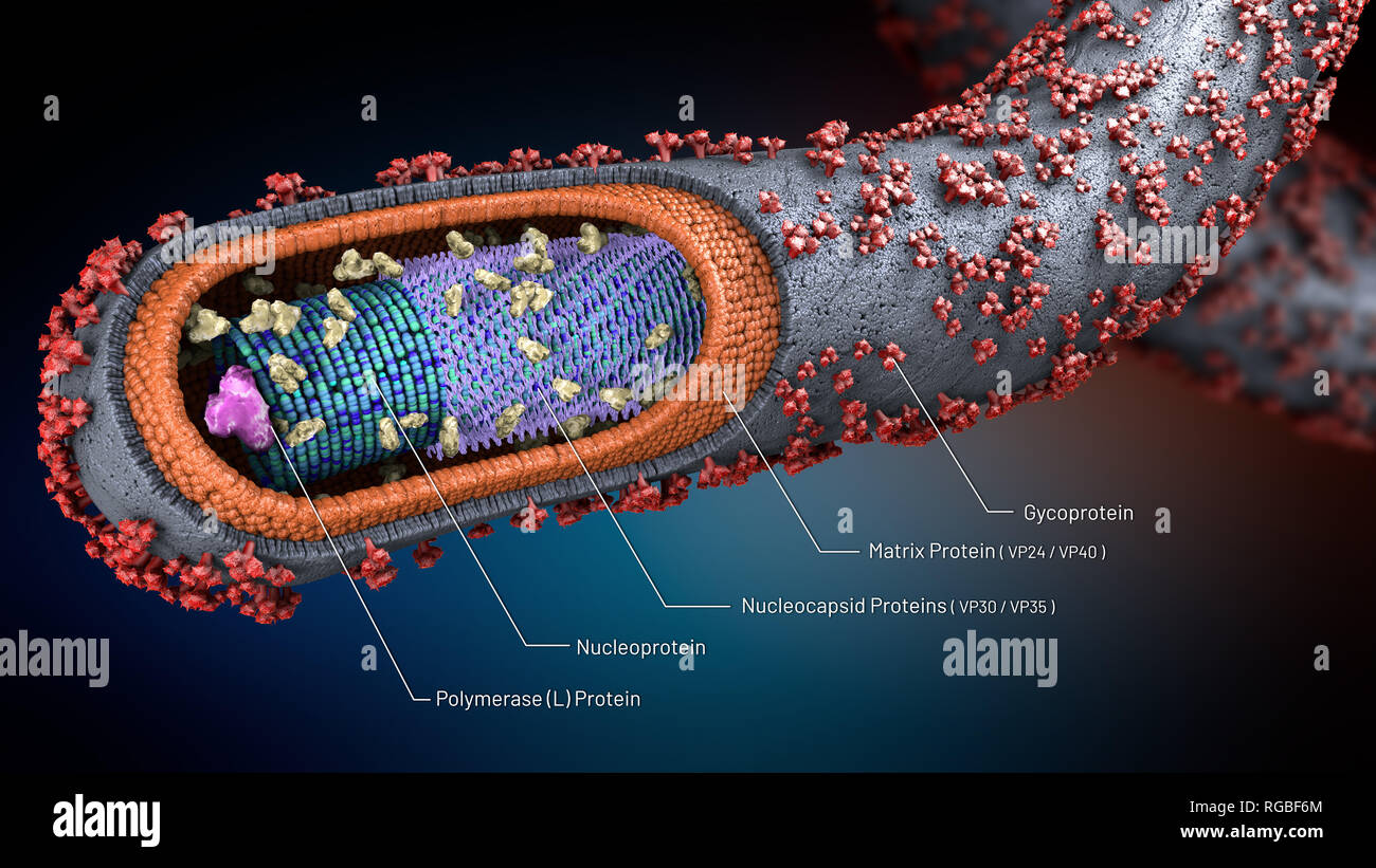 3d illustration of a cross-section of an ebola pathogen with scientific explanations of the components - Stock Image