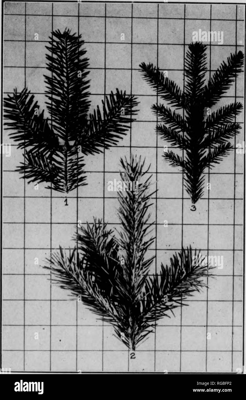 """. Bulletin (Pennsylvania Department of Forests and Waters), no. 33-35. Forests and forestry. 24. Figure 4 1. Bai^am Fib twig. 2. Douglas Fir twig. Spbuce twig 3. Norway 25 27. *Sitka Spruce,—Picea sitchensis, Carr. Foliage in general like white spruce, but needles are flat- tened, rather flexihU and lack the disagreeable odor; very sharp. Buds and twigs gray-brown with yellow cast. Cones 21/0""""—i"""" long; scales papery-tipt and toothed. Na- tive from Alaska to California. 28. *Norway Spruce,—Picea Abies, (L.) Karst. Needles sharp, 4-angled, dark green. Twigs bright red-hrown with buds d - Stock Image"""