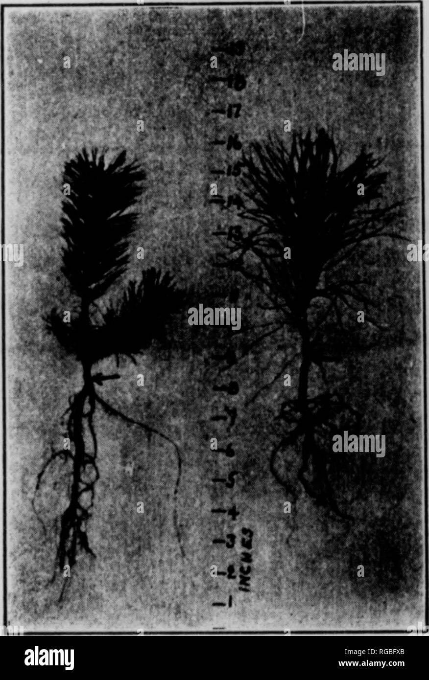 . Bulletin (Pennsylvania Department of Forestry), no. 20-24. Forests and forestry. Japanese larch (left) and white pine (right), two years old. Norway spruce (left) and white t»ino (right), three years old.. Pitch pine (left) and Scotch pine (right), two years old.. Please note that these images are extracted from scanned page images that may have been digitally enhanced for readability - coloration and appearance of these illustrations may not perfectly resemble the original work.. Pennsylvania. Dept. of Forestry. Harrisburg, Pa. : The Department : WM. Stanley Ray, state printer of Pennsylvan - Stock Image