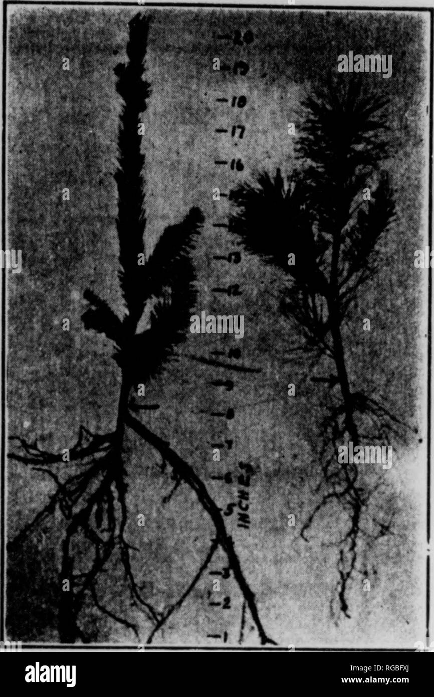 . Bulletin (Pennsylvania Department of Forestry), no. 20-24. Forests and forestry. Japanese larch (left) and white pine (right), two years old. Norway spruce (left) and white t»ino (right), three years old.. Please note that these images are extracted from scanned page images that may have been digitally enhanced for readability - coloration and appearance of these illustrations may not perfectly resemble the original work.. Pennsylvania. Dept. of Forestry. Harrisburg, Pa. : The Department : WM. Stanley Ray, state printer of Pennsylvania - Stock Image