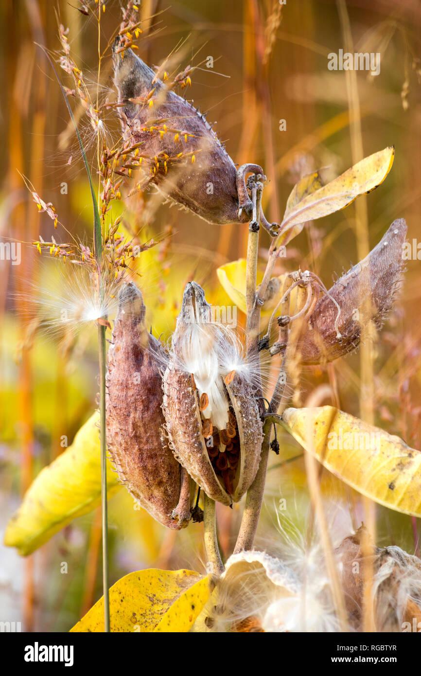 Germany, Showy Milkweed in botanical garden in autumn - Stock Image