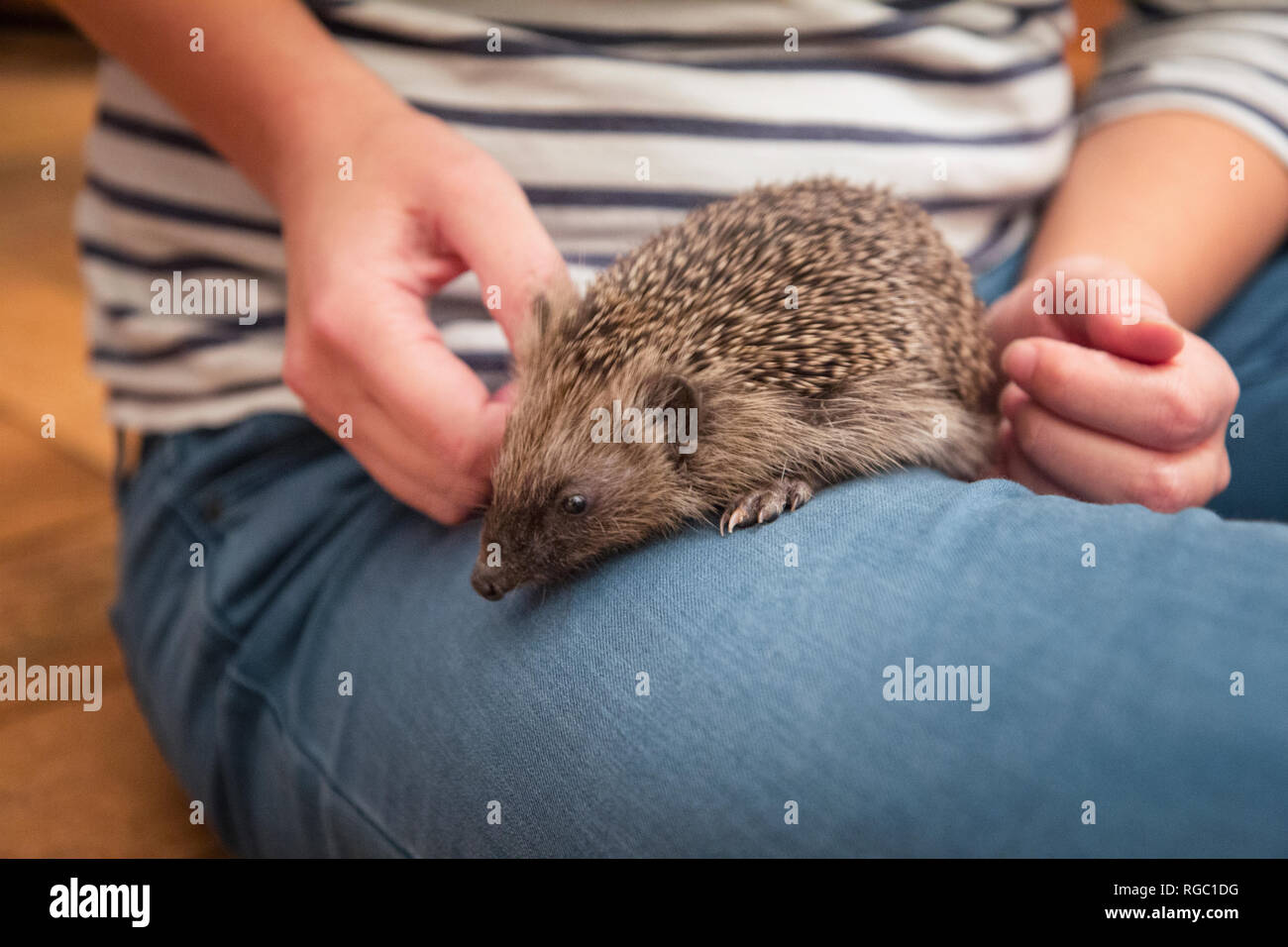Woman with hedgehog on her thigh, close-up - Stock Image