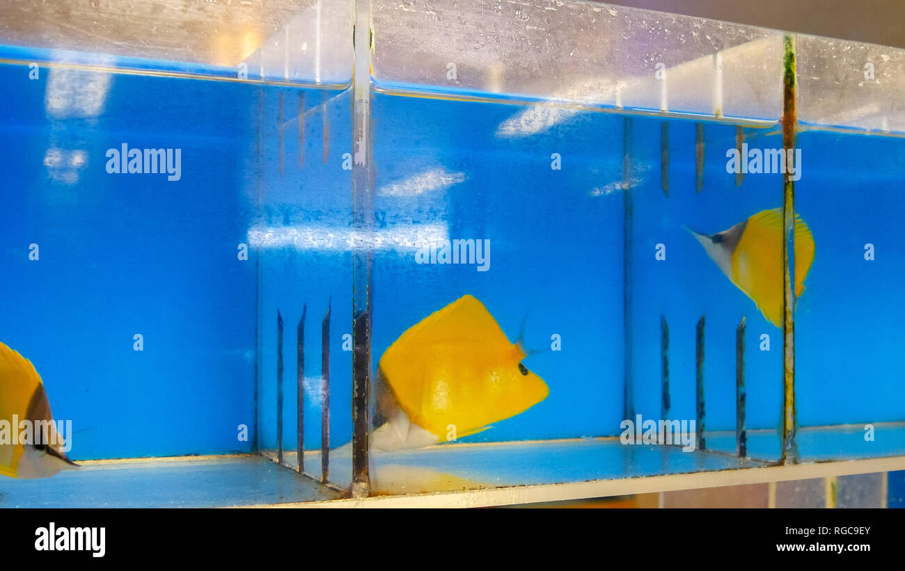 colorful yellow longnose butterfly fish for sale at a tropical fish wholesaler in hawaii - Stock Image