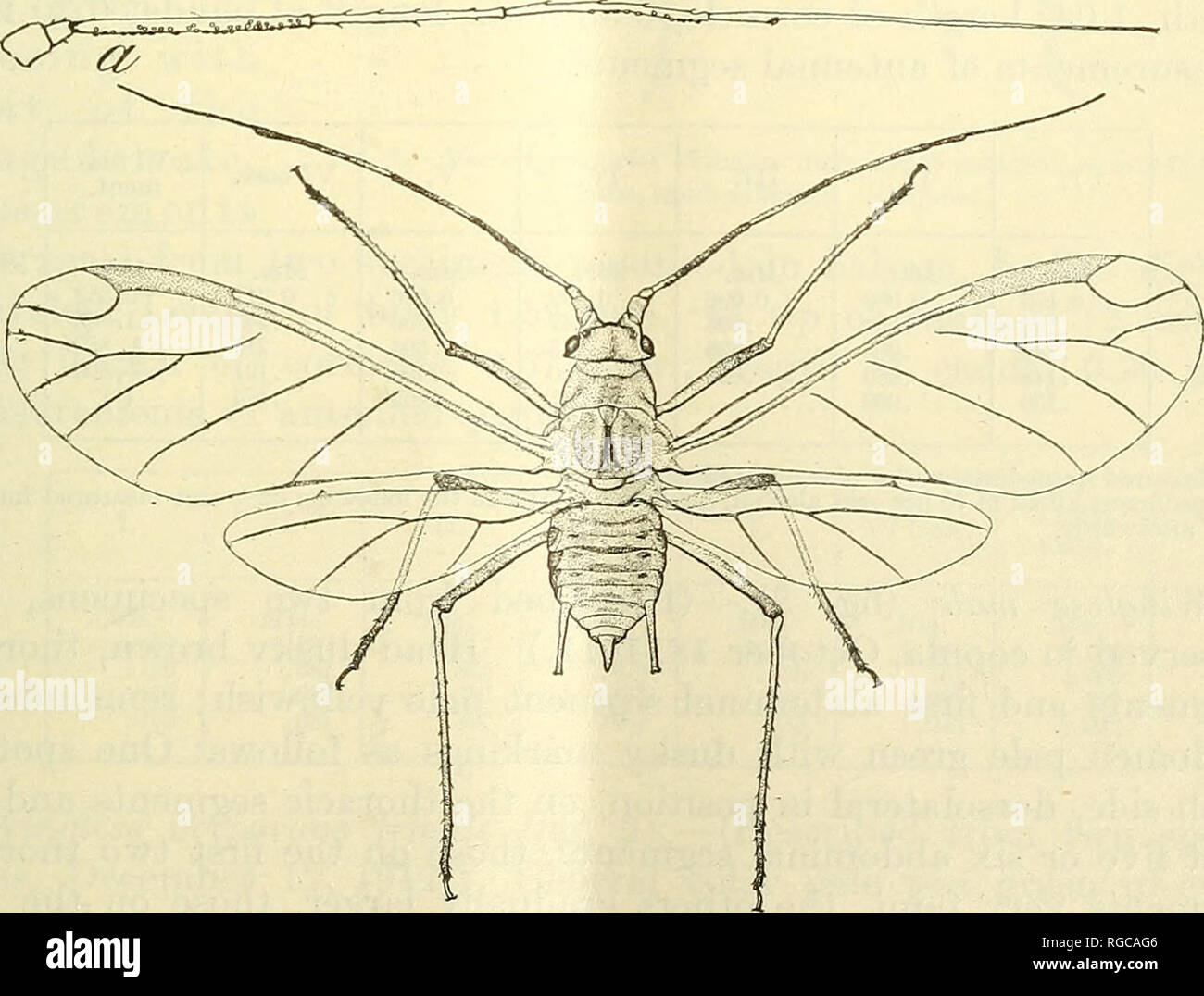 . Bulletin of the U.S. Department of Agriculture. Agriculture; Agriculture. THE PEA APHIS WITH RELATION TO FORAGE CROPS. 19 Measurements (average) from three specimens, immediately after placing in balsam and before shrinkage occurs: Length of body, 2.79 mm., to tip of cauda, 3.18., width, 1.11; length of wings, 3.51 mm., width, 1.16; length of cornicles, 0.84 mm.; length of cauda, 0.46 mm.; length of hind tibia, 2.32 mm. Measurements of antennal segments: I. II. III. IV. V. VI, base. VI, fila- ment. Mm. 0.156 .156 Mm. 0.069 .078 Mm. 0.826 .817 ' 1.006 Mm. 0.721 .730 .716 .677 .658 .658 Mm. 0. Stock Photo