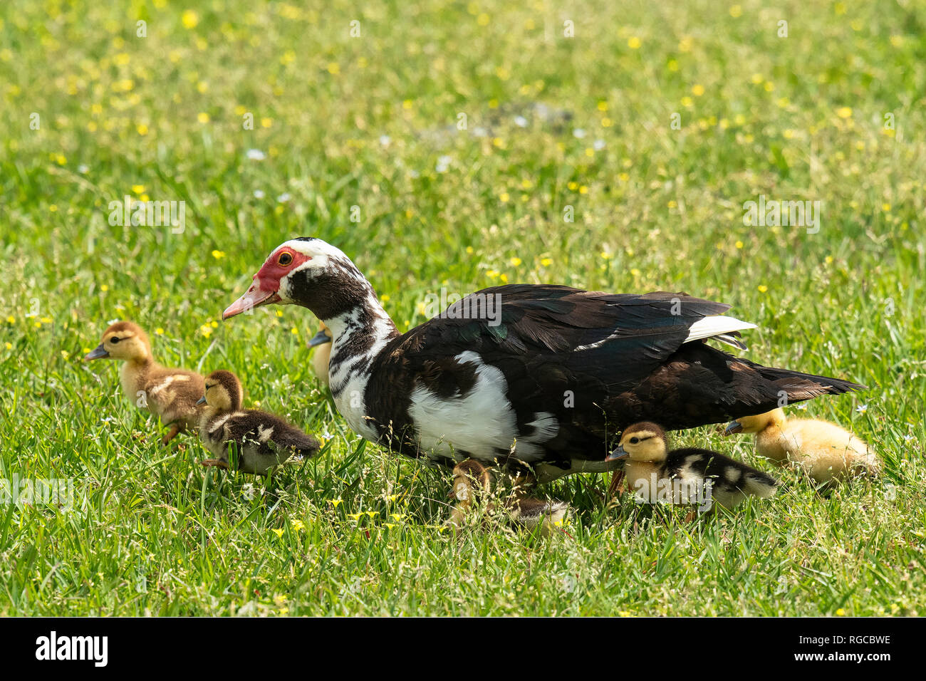 Female Muscovy Duck Stock Photos & Female Muscovy Duck Stock