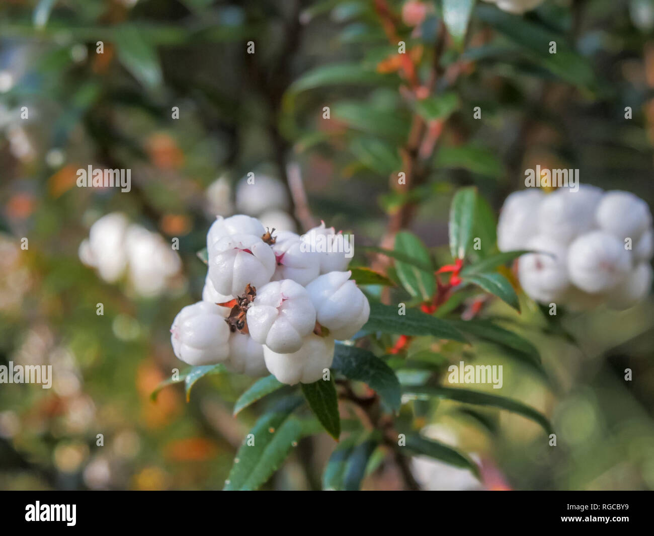 close up of the edible white tasmanian snowberry,  Gaultheria hispida in the cradle mountain national park - Stock Image